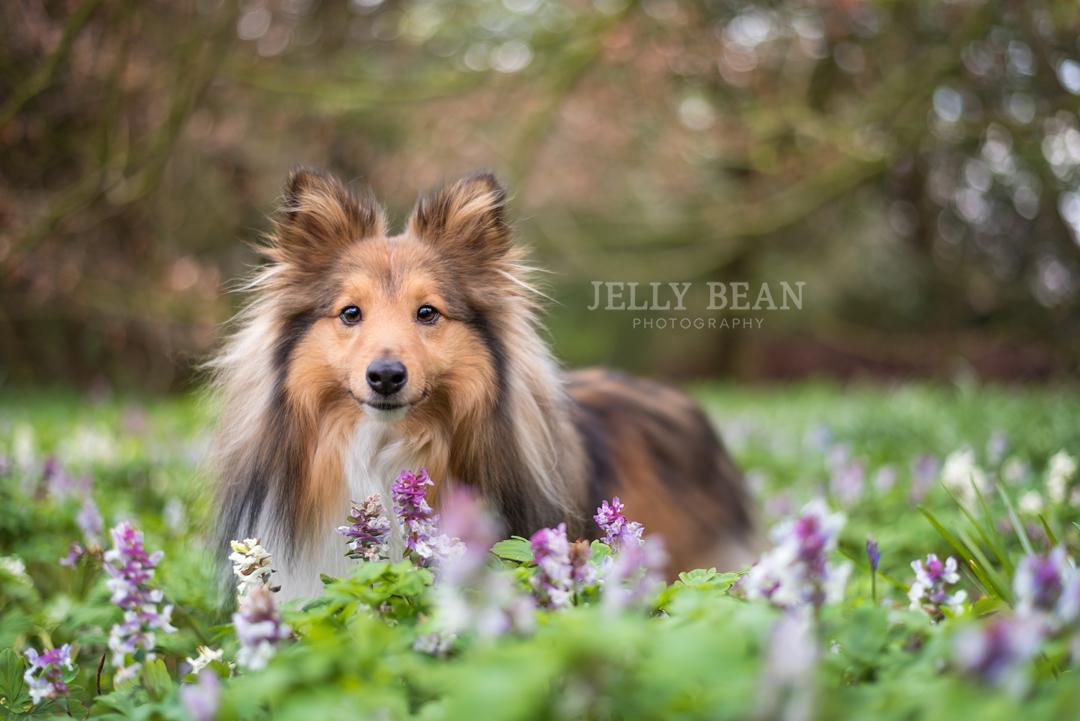 Shetland sheepdog in flowerbed
