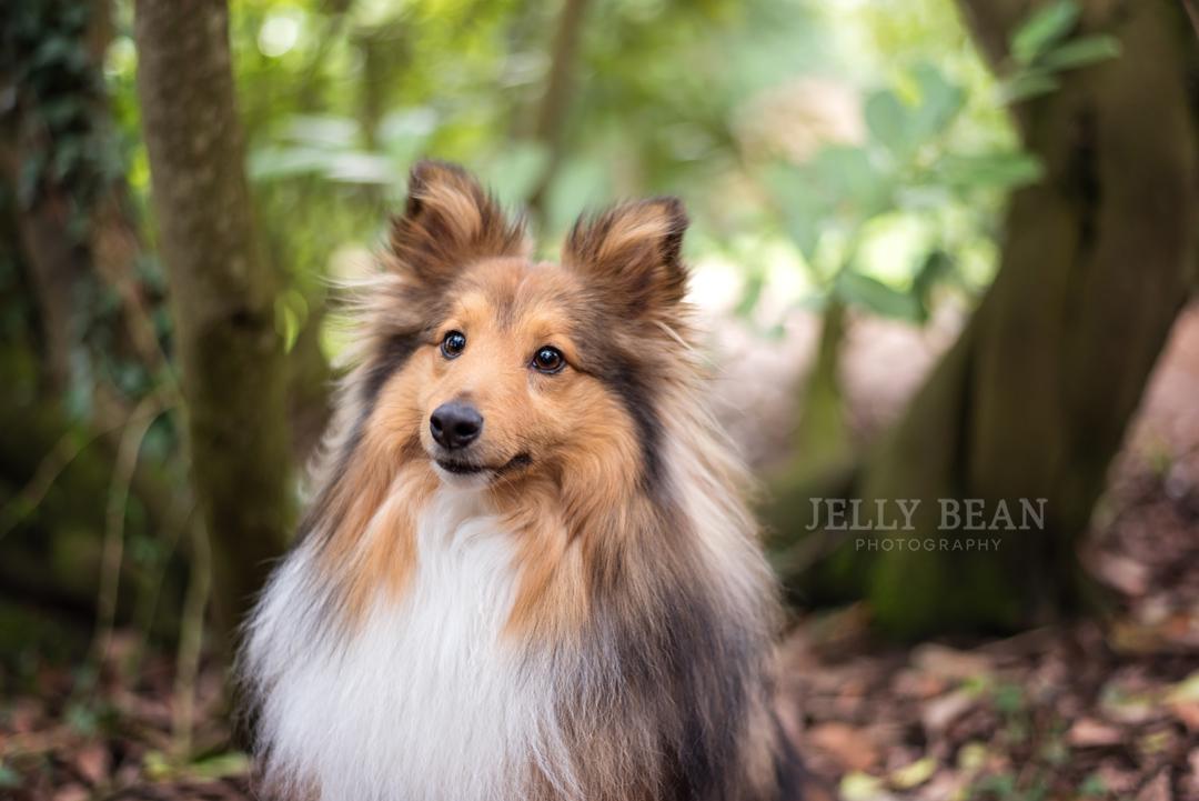 Shetland sheepdog in the woods