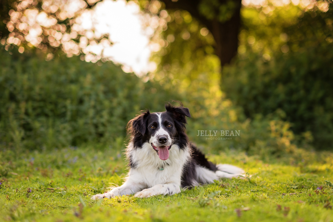 border collie in sunshine