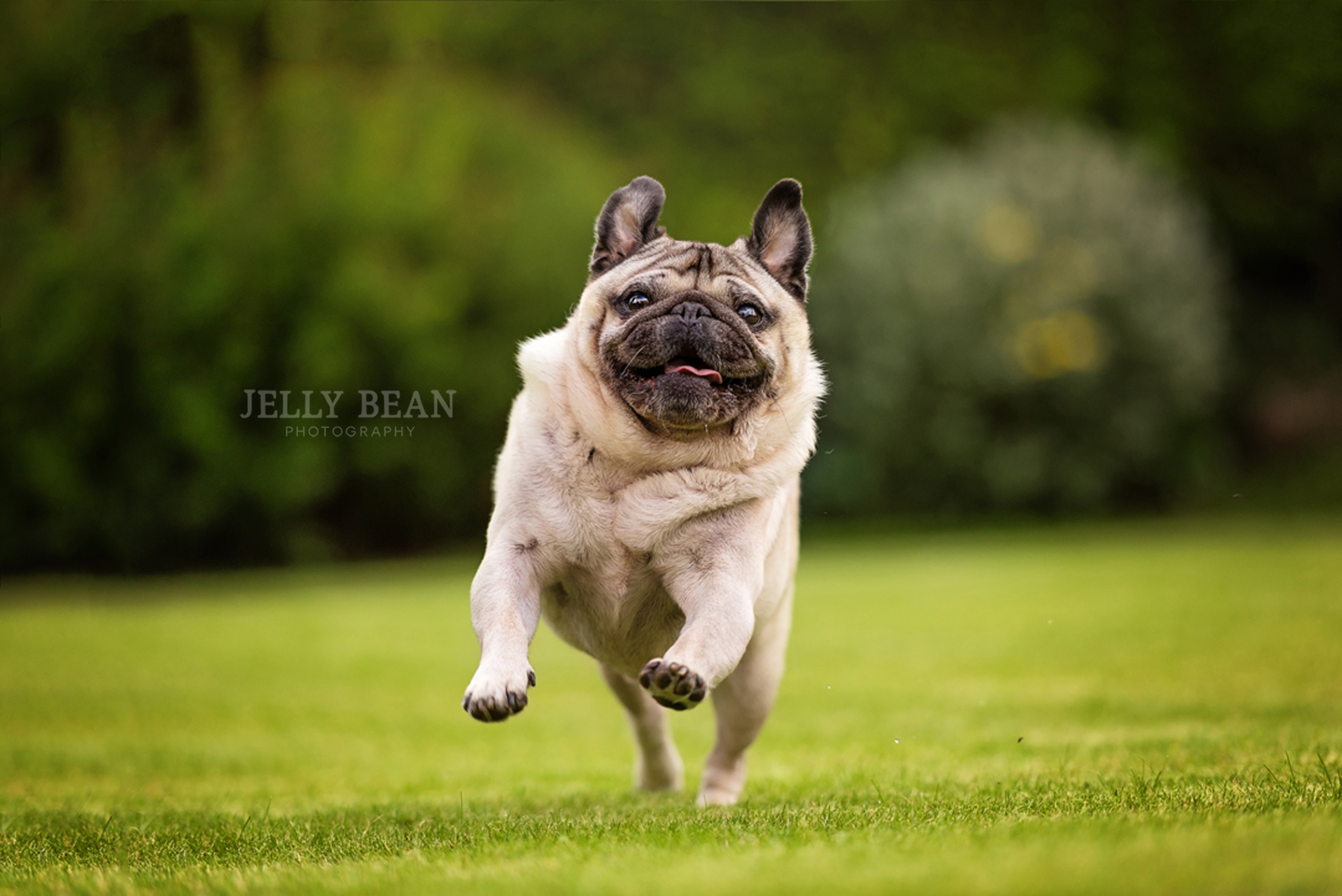 Pug dog running in garden