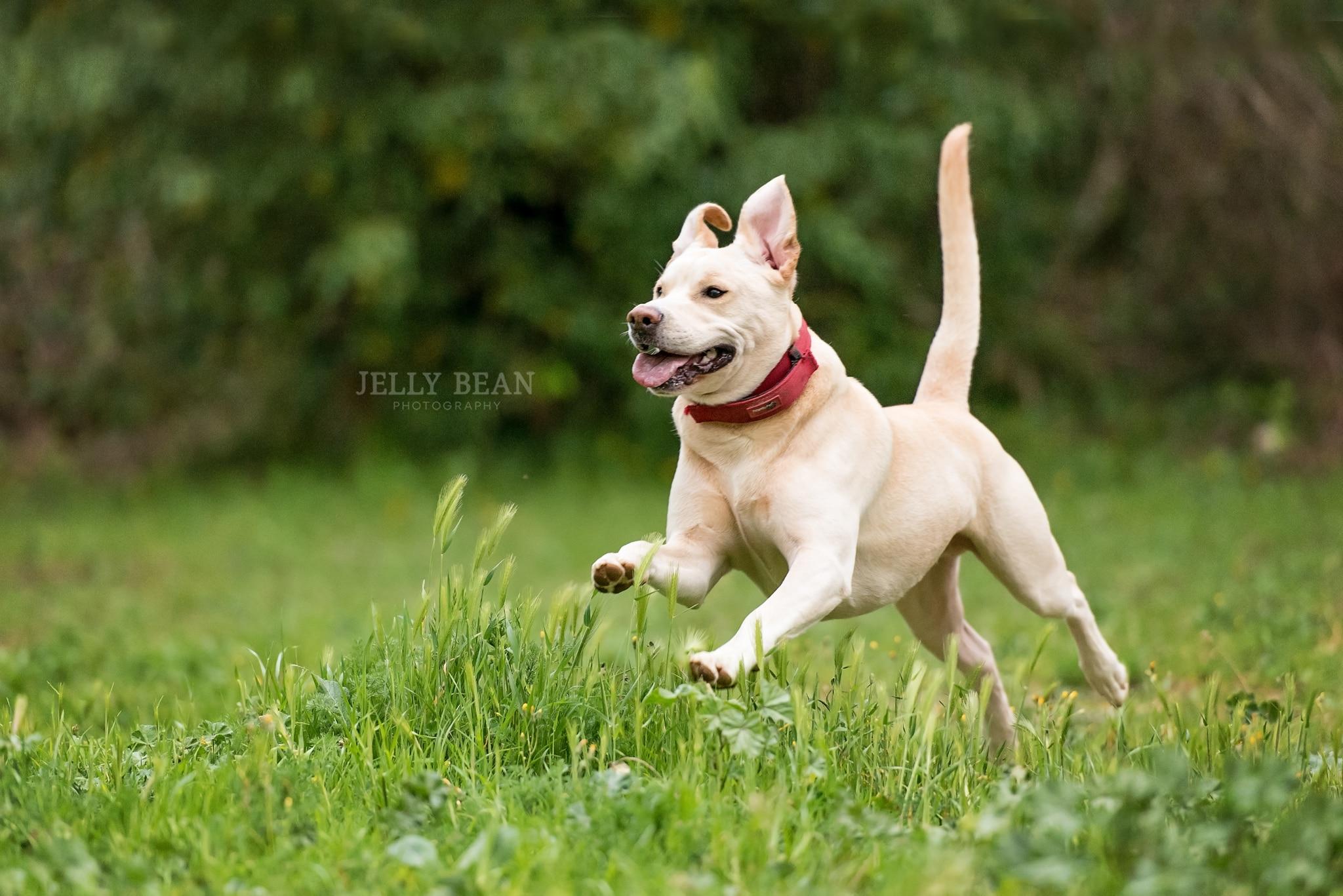 labrador running in field
