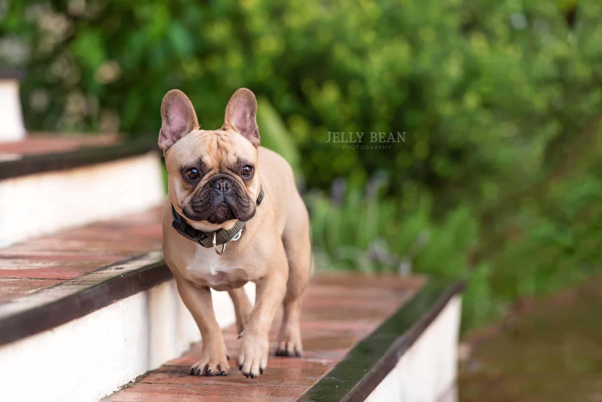 french bulldog on steps