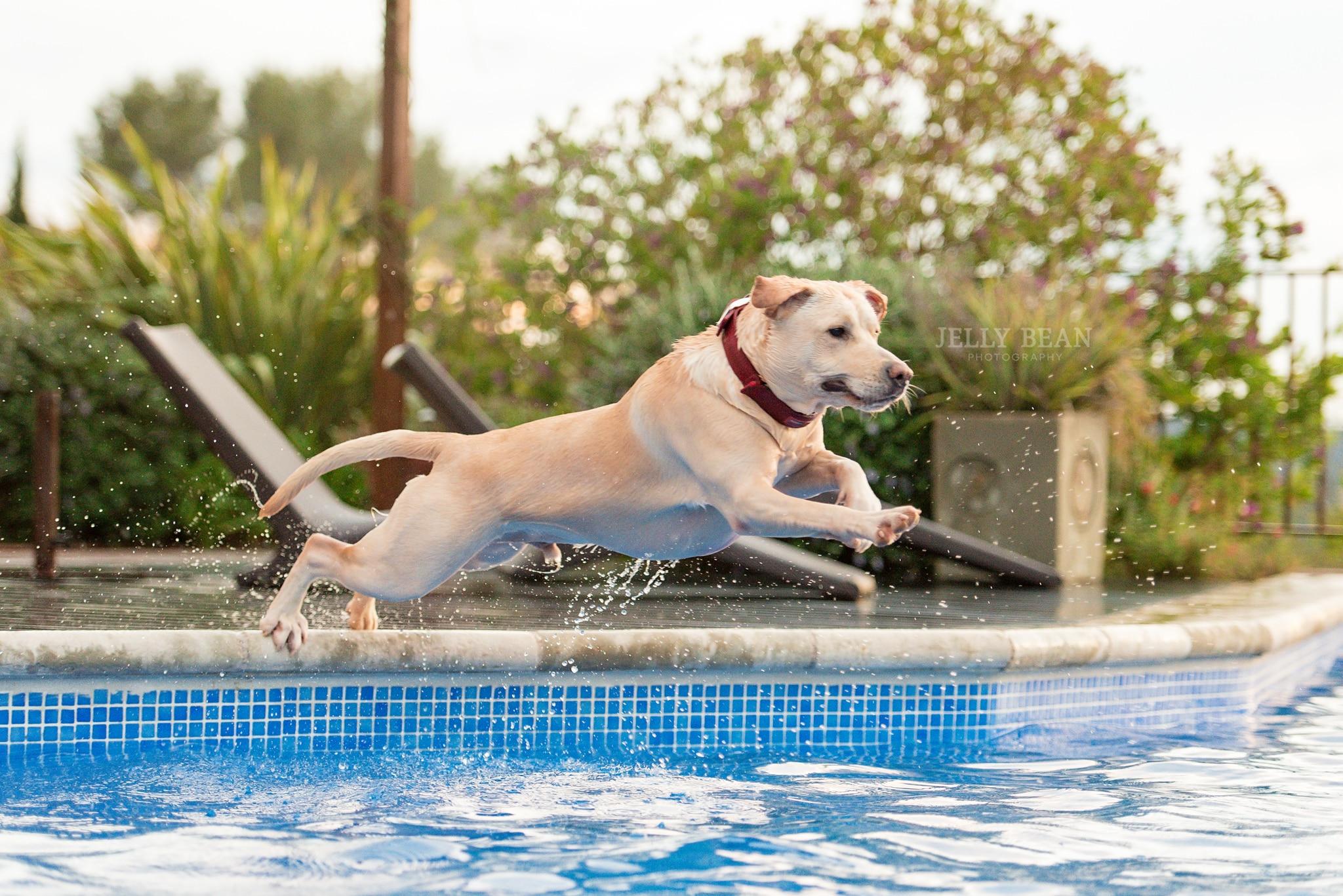 labrador in swimming pool