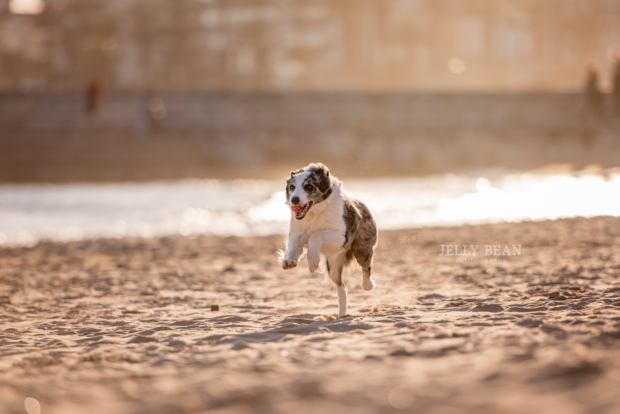 border collie on the beach