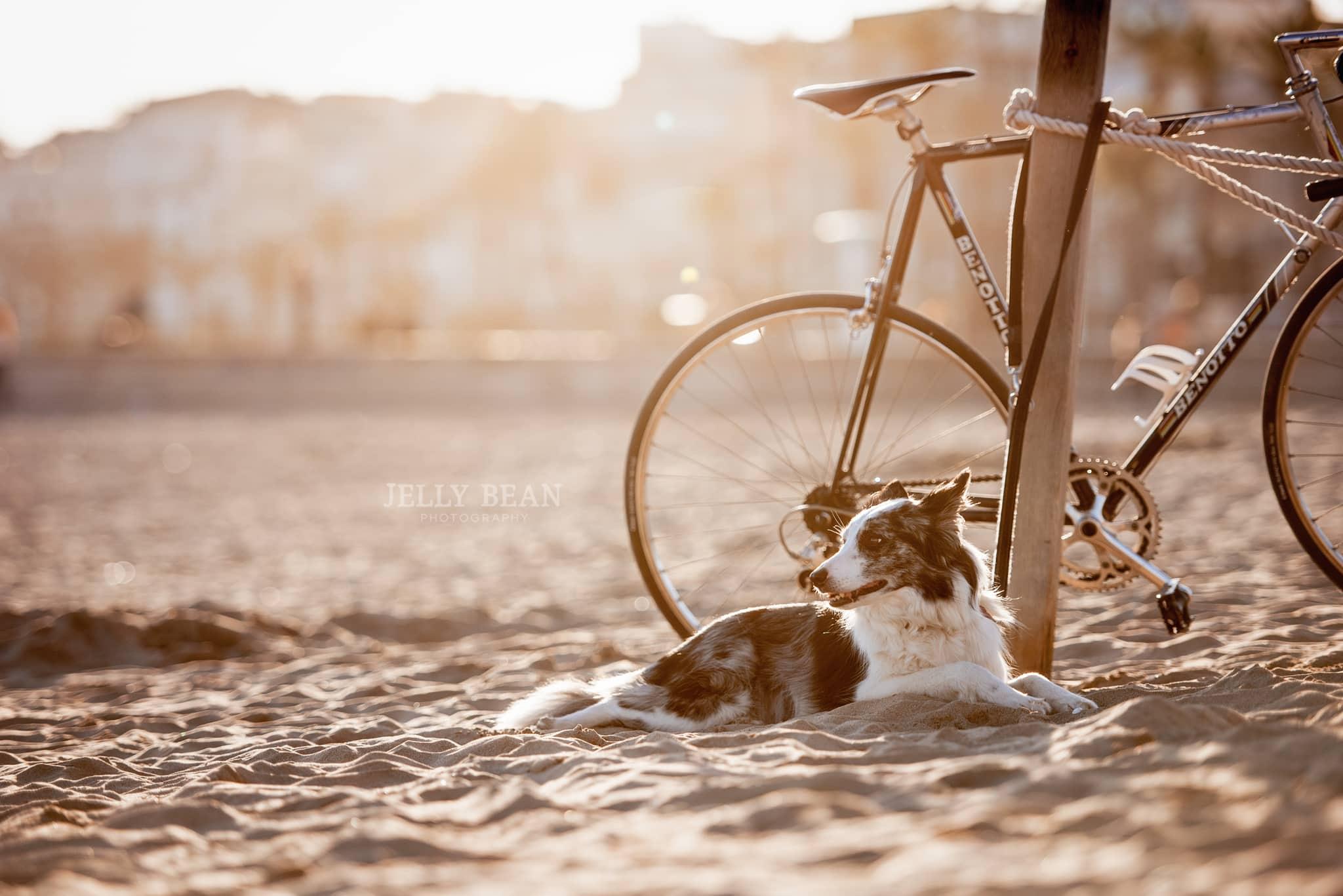 collie and bike