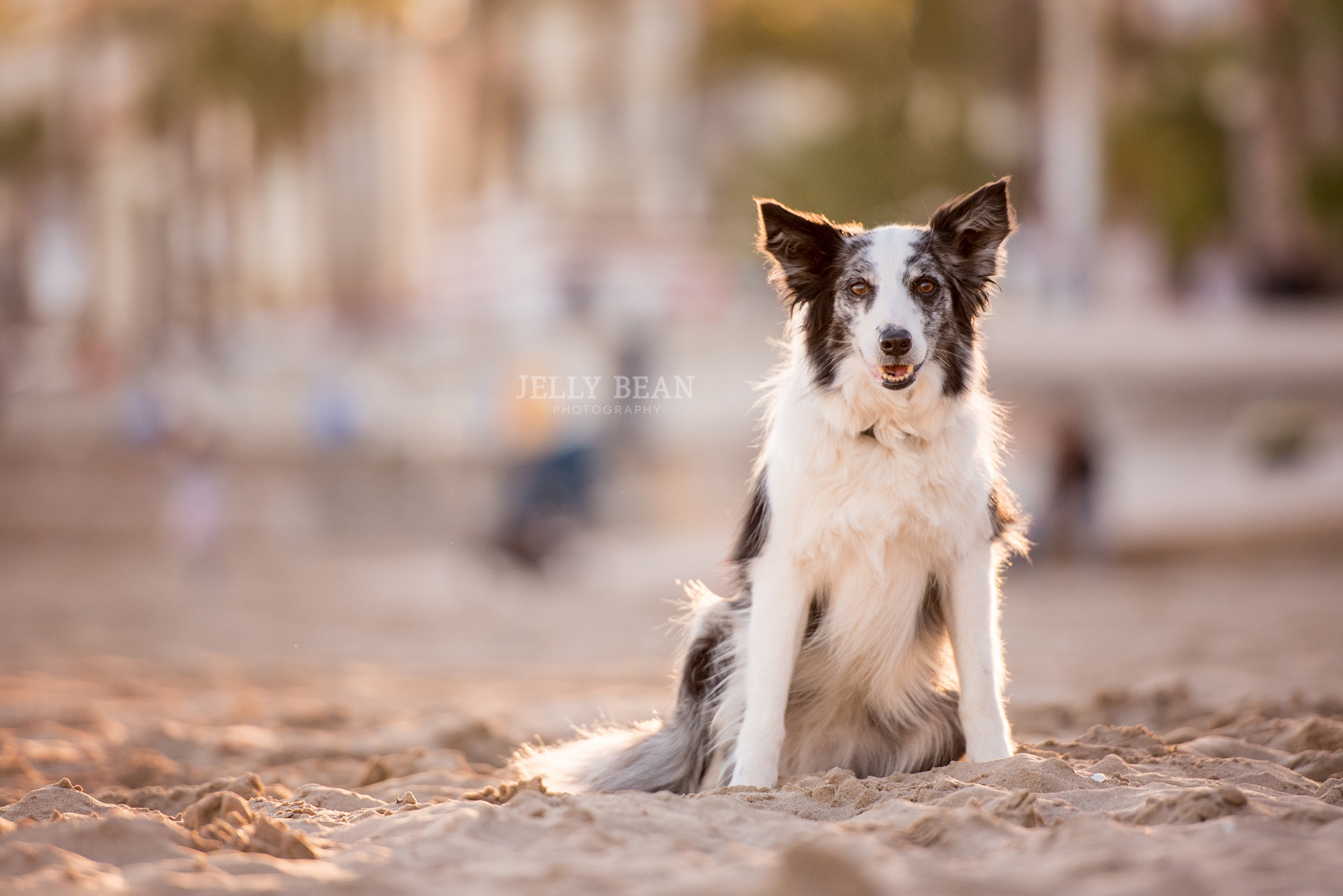 collie in the sand