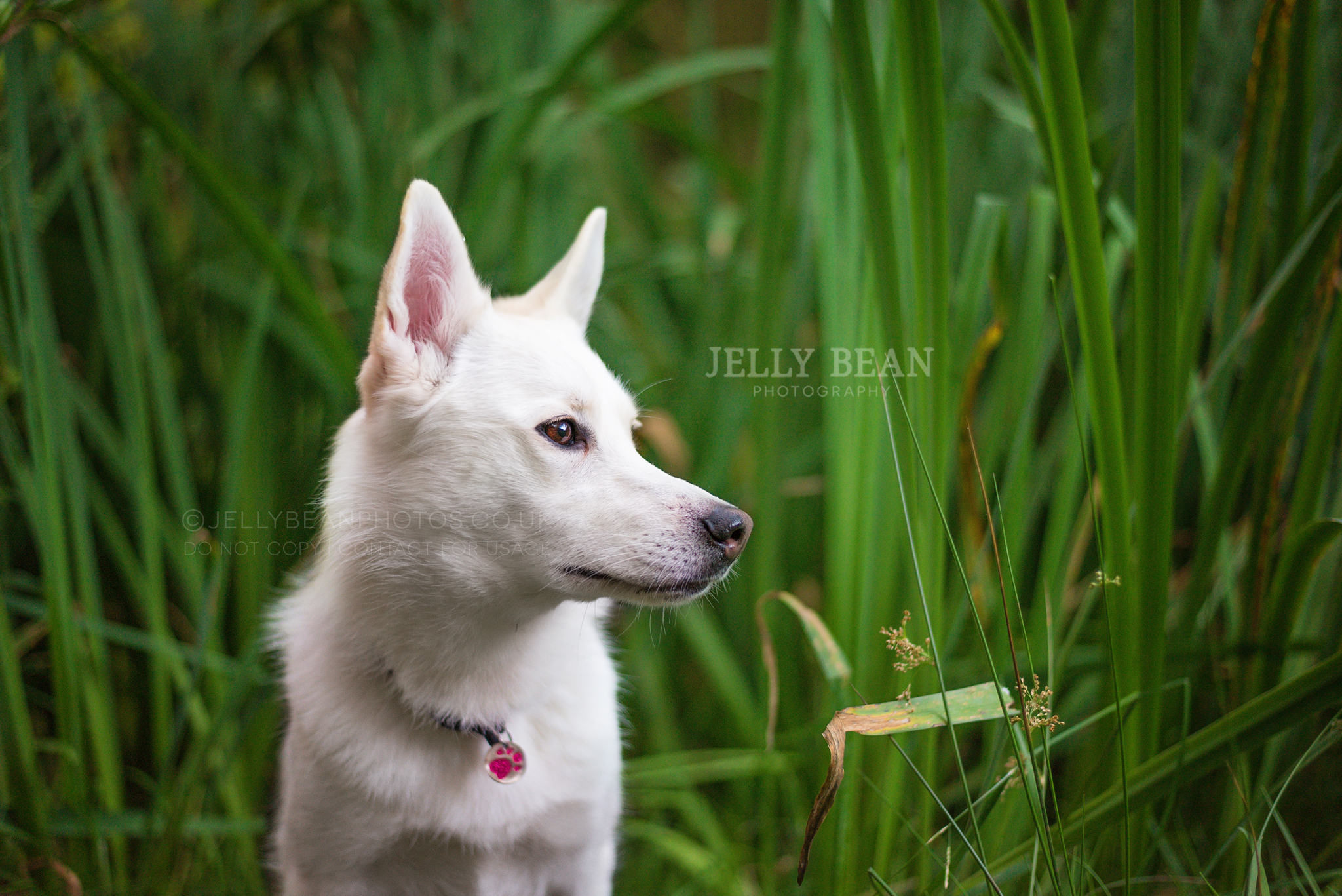 white dog in the reeds