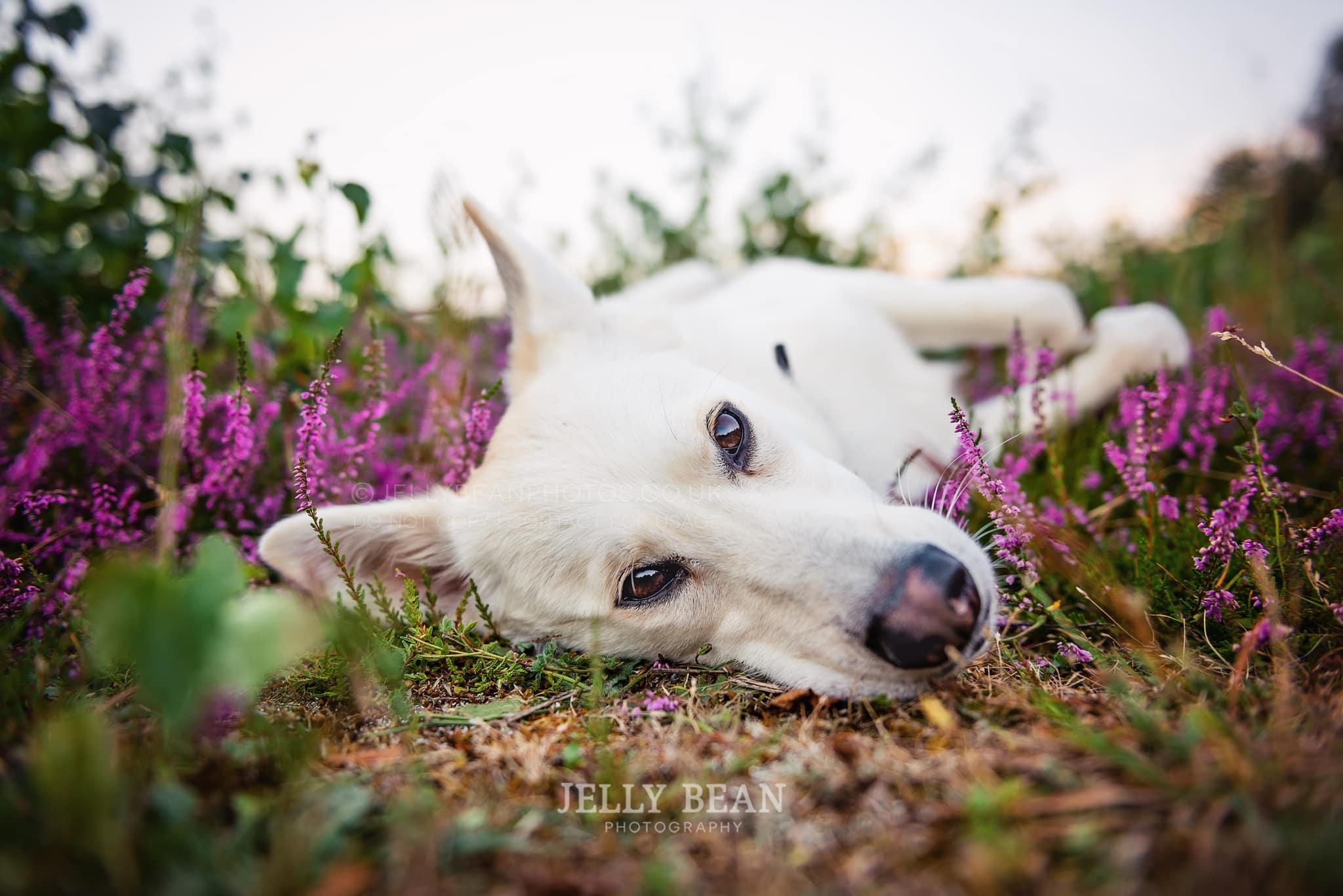 dog lying in heather