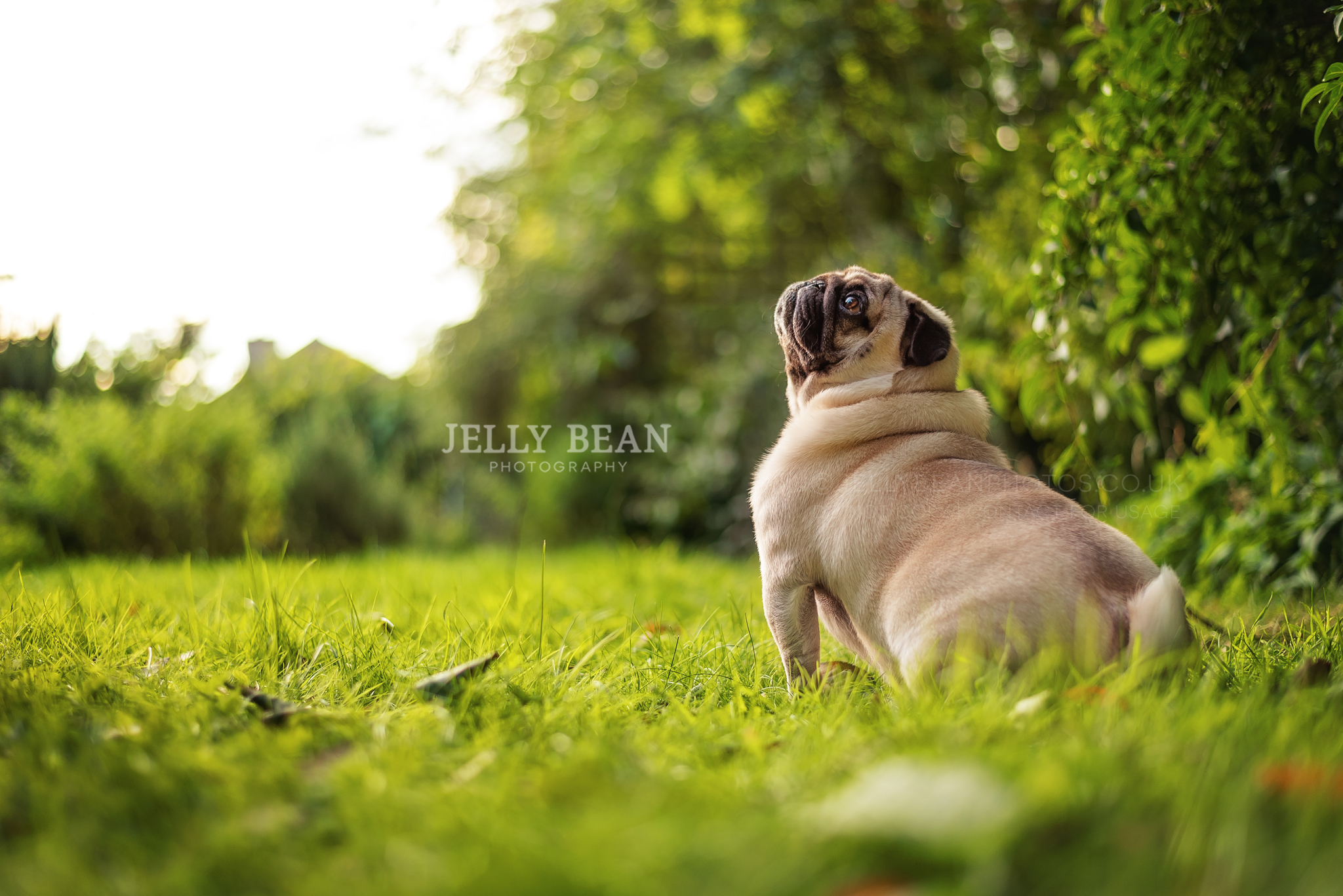 pug looking at the sky