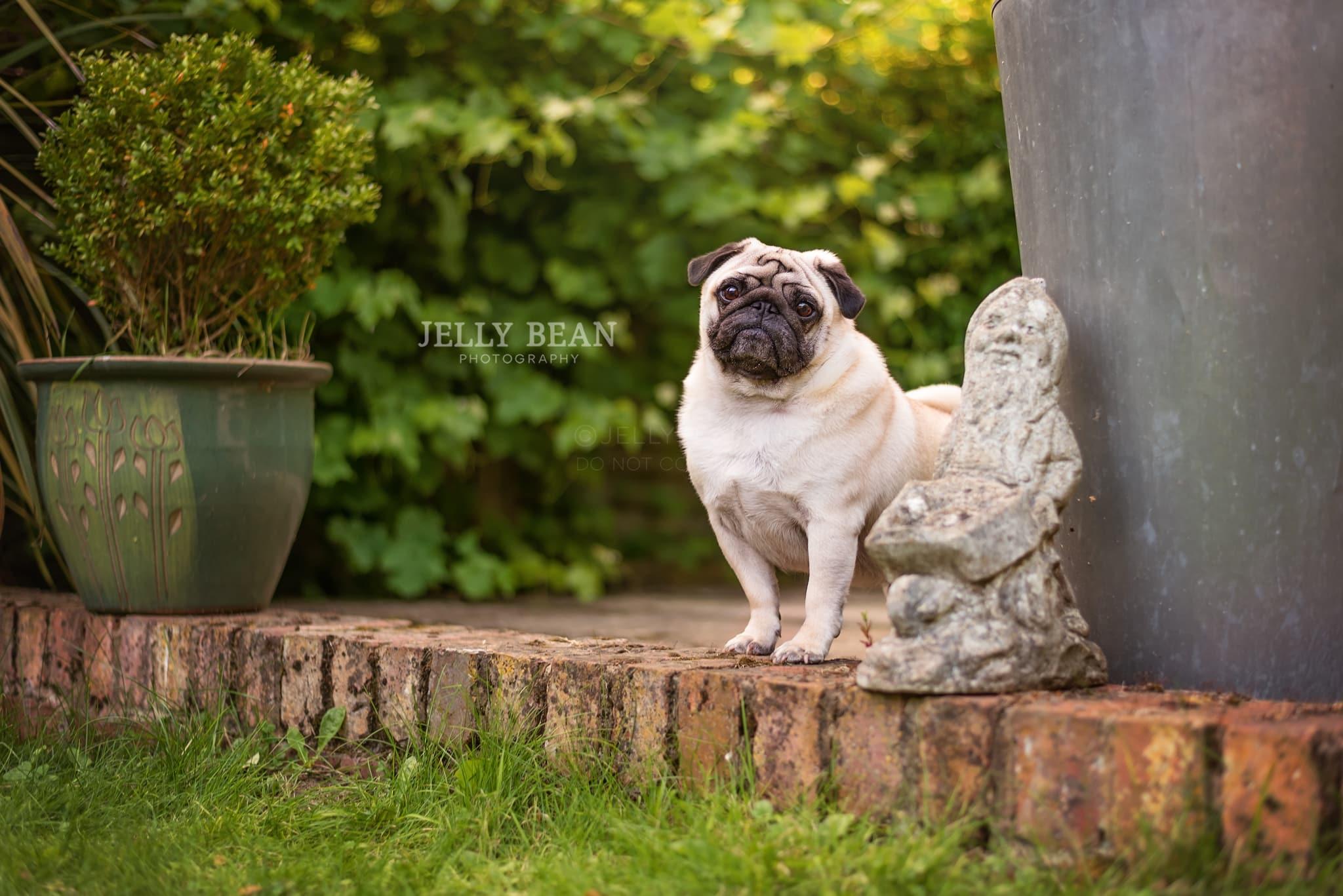 pug in the garden