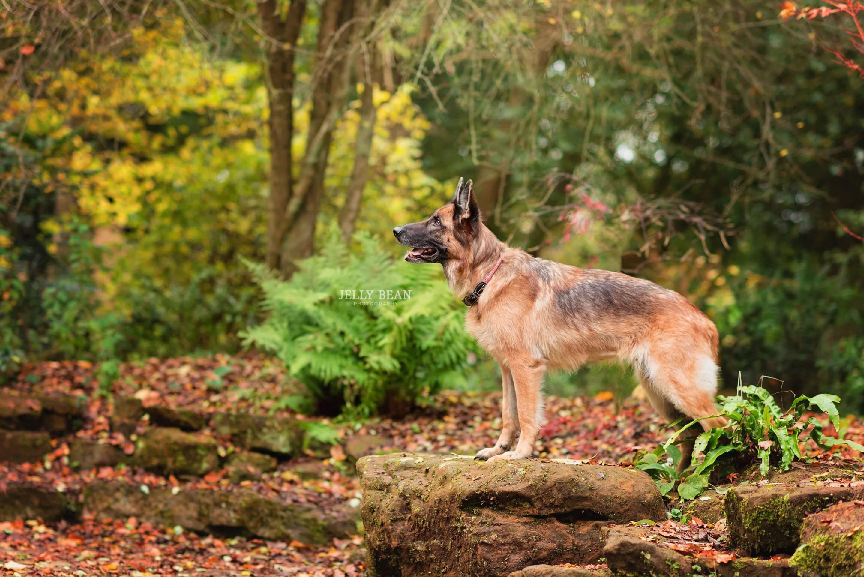German Shepherd standing on rock