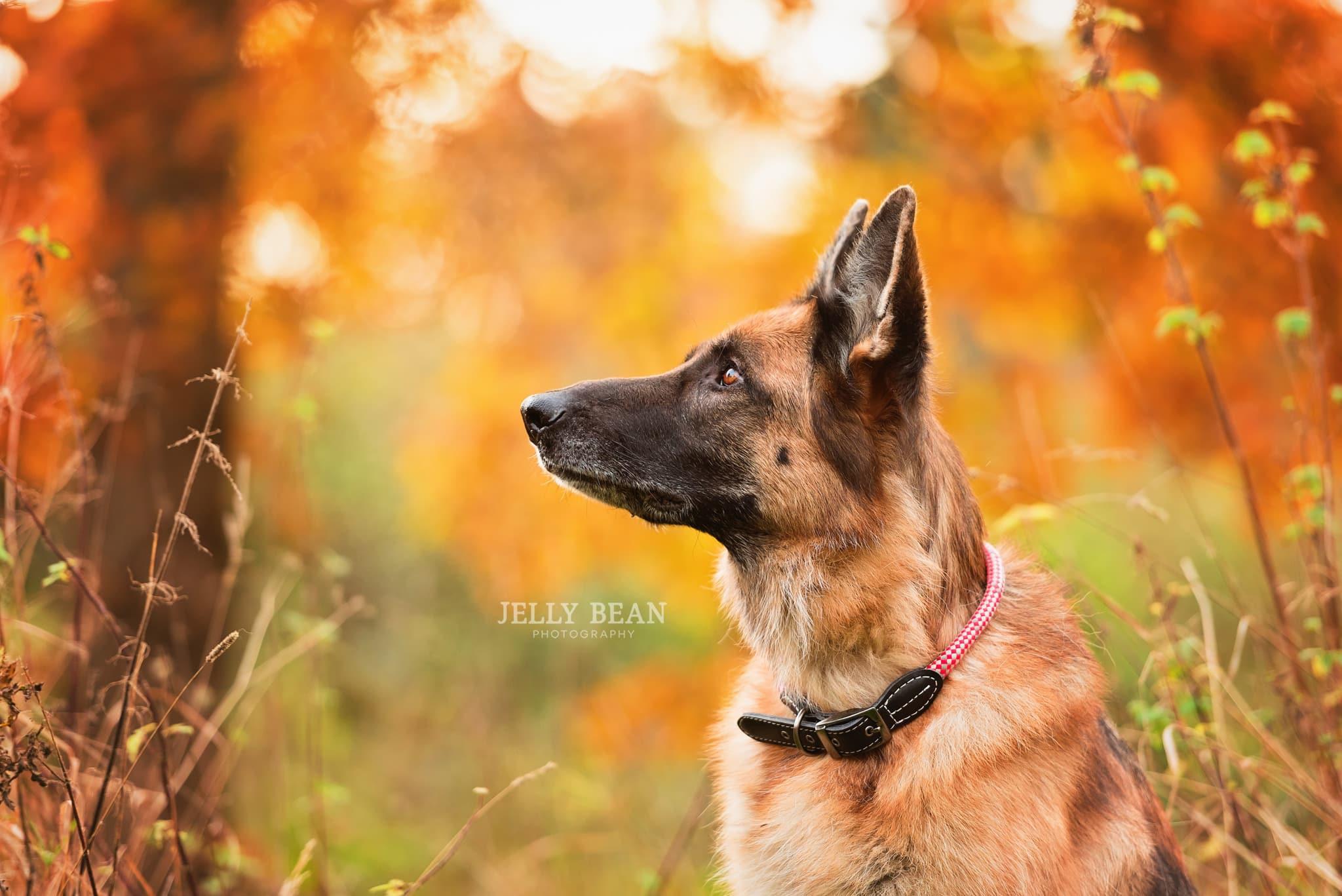 German Shepherd dog profile