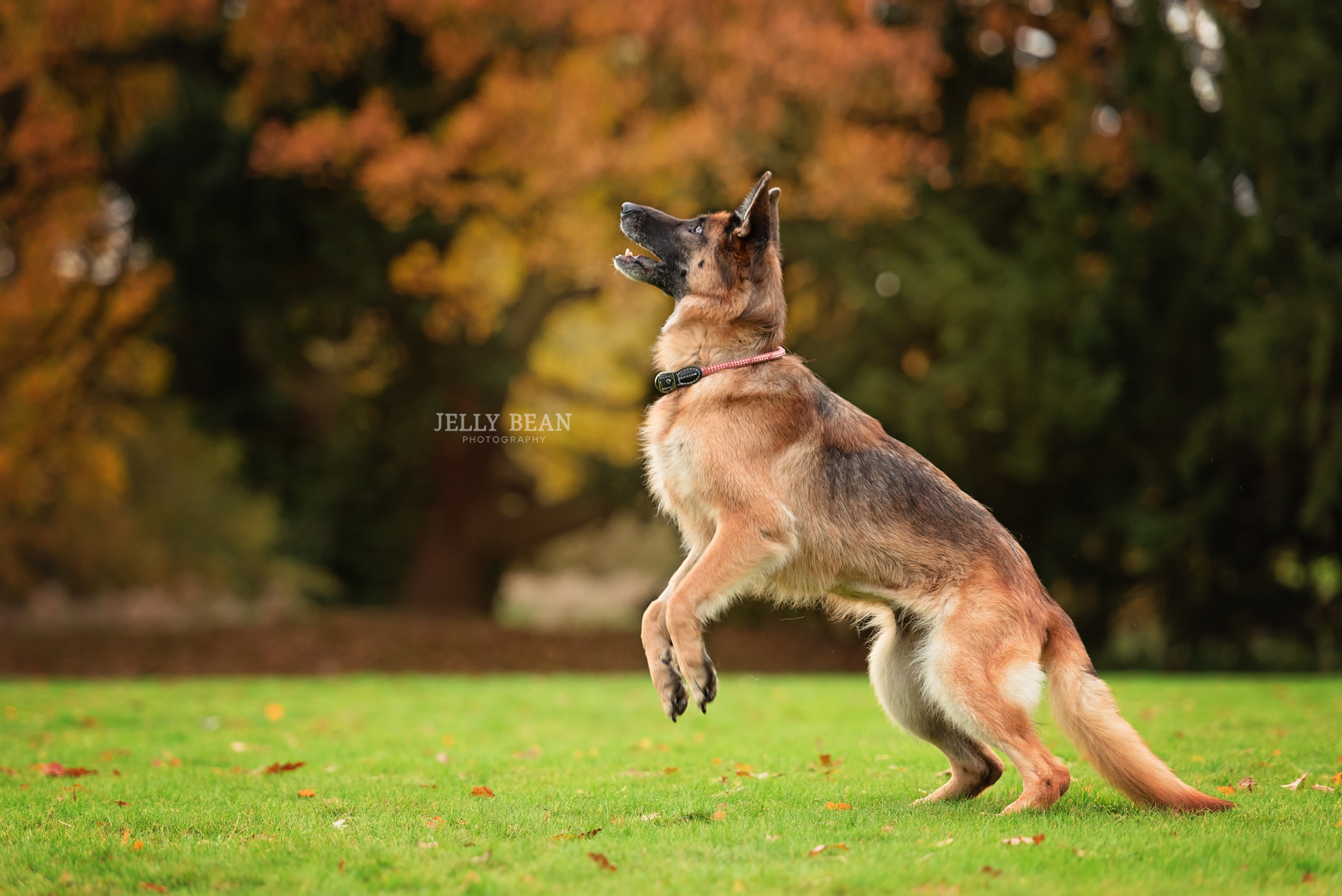 Dog jumping for ball