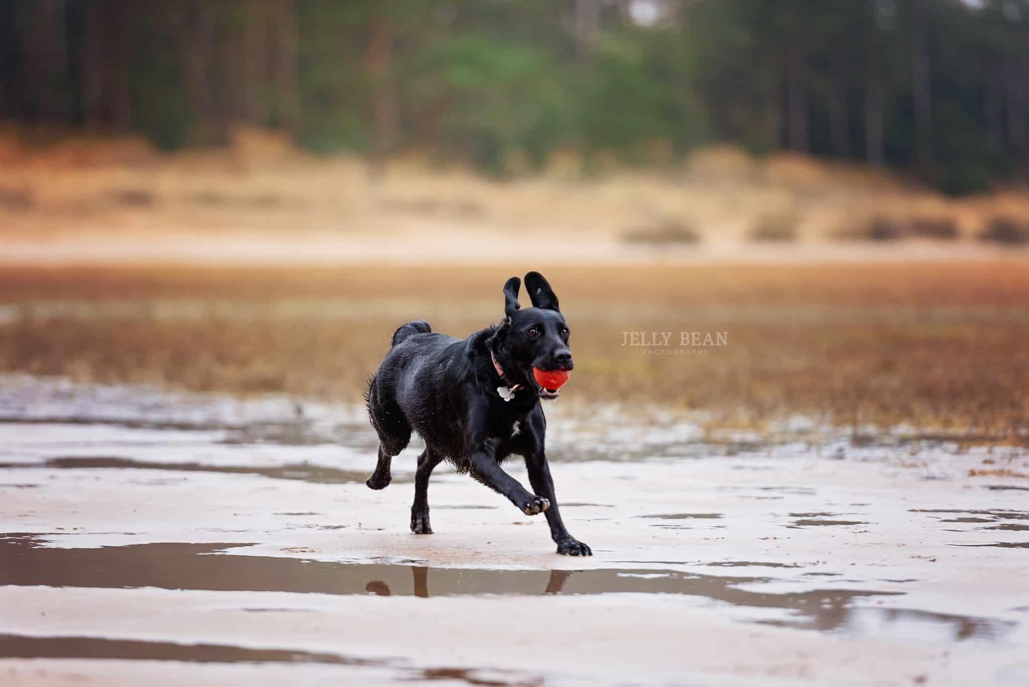 Black dog running with ball