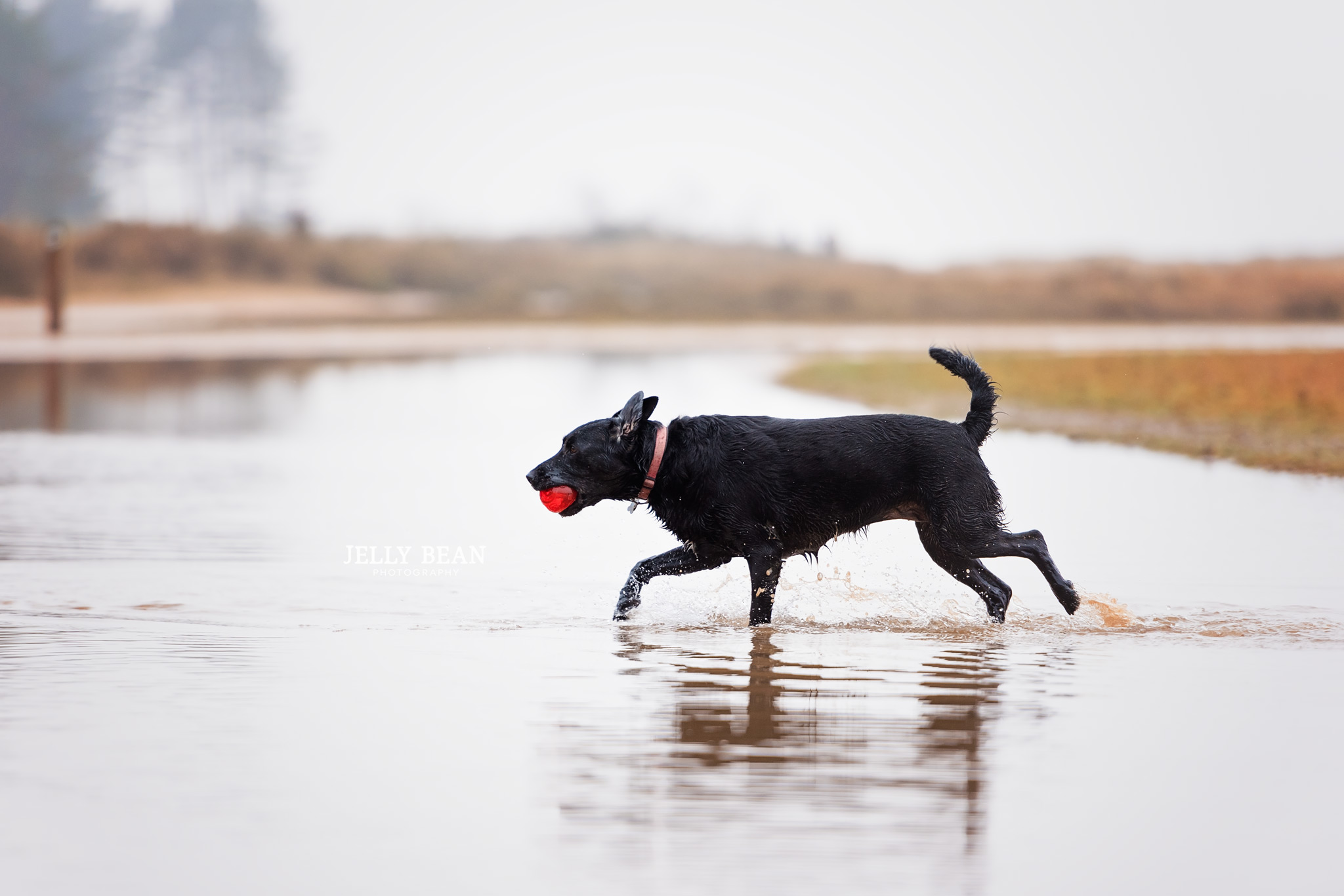 black dog walking in water with ball