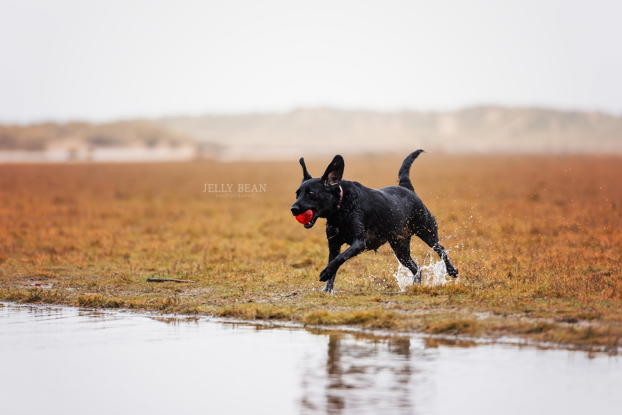 Black labrador running with ball