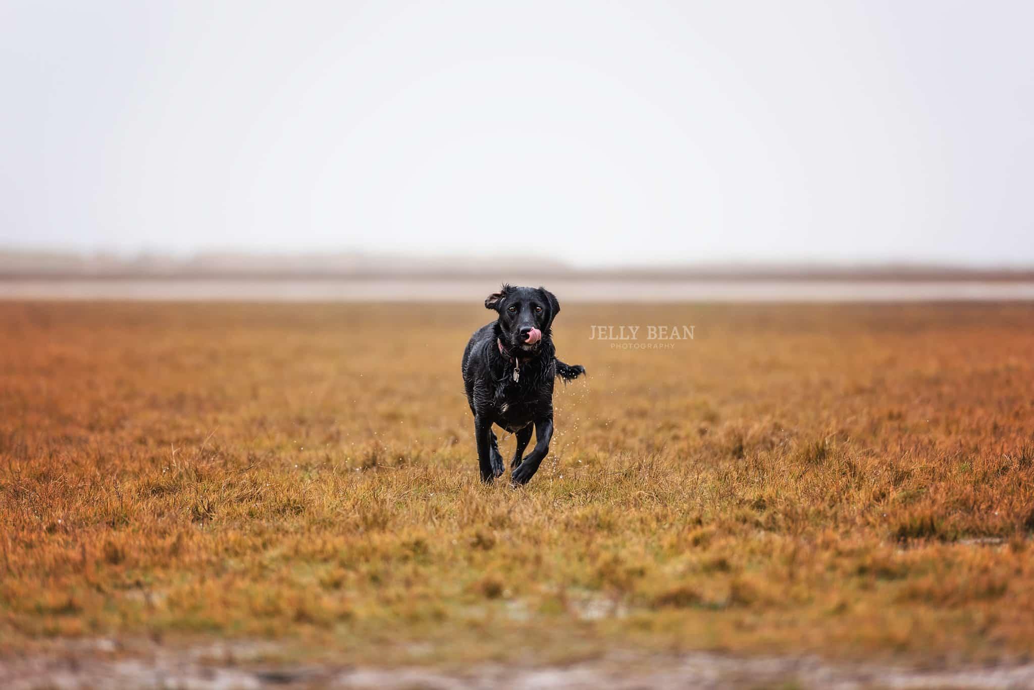 Black dog licking nose