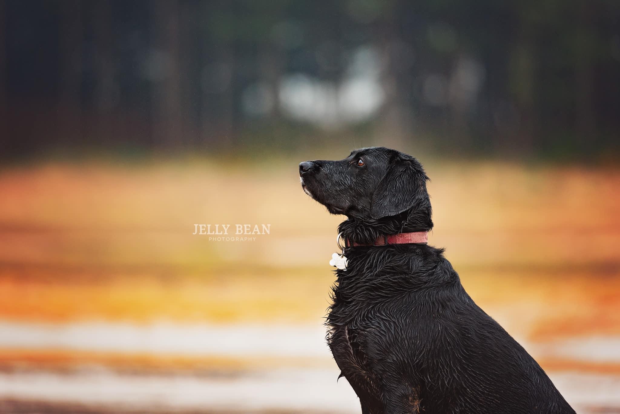 Black labrador profile photograph