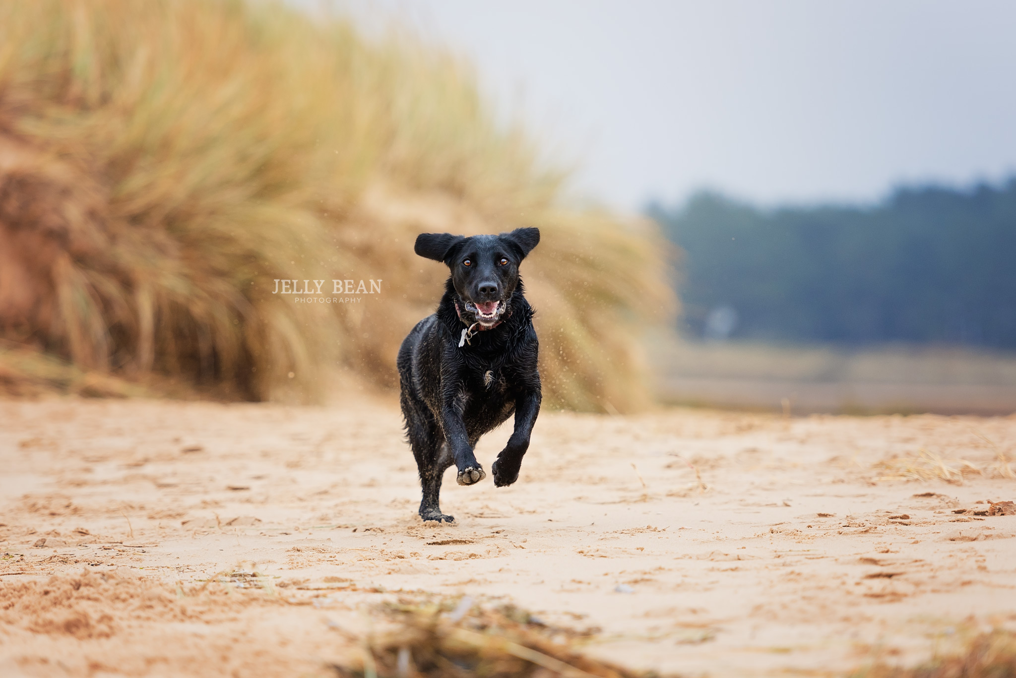 Black lab running across beach