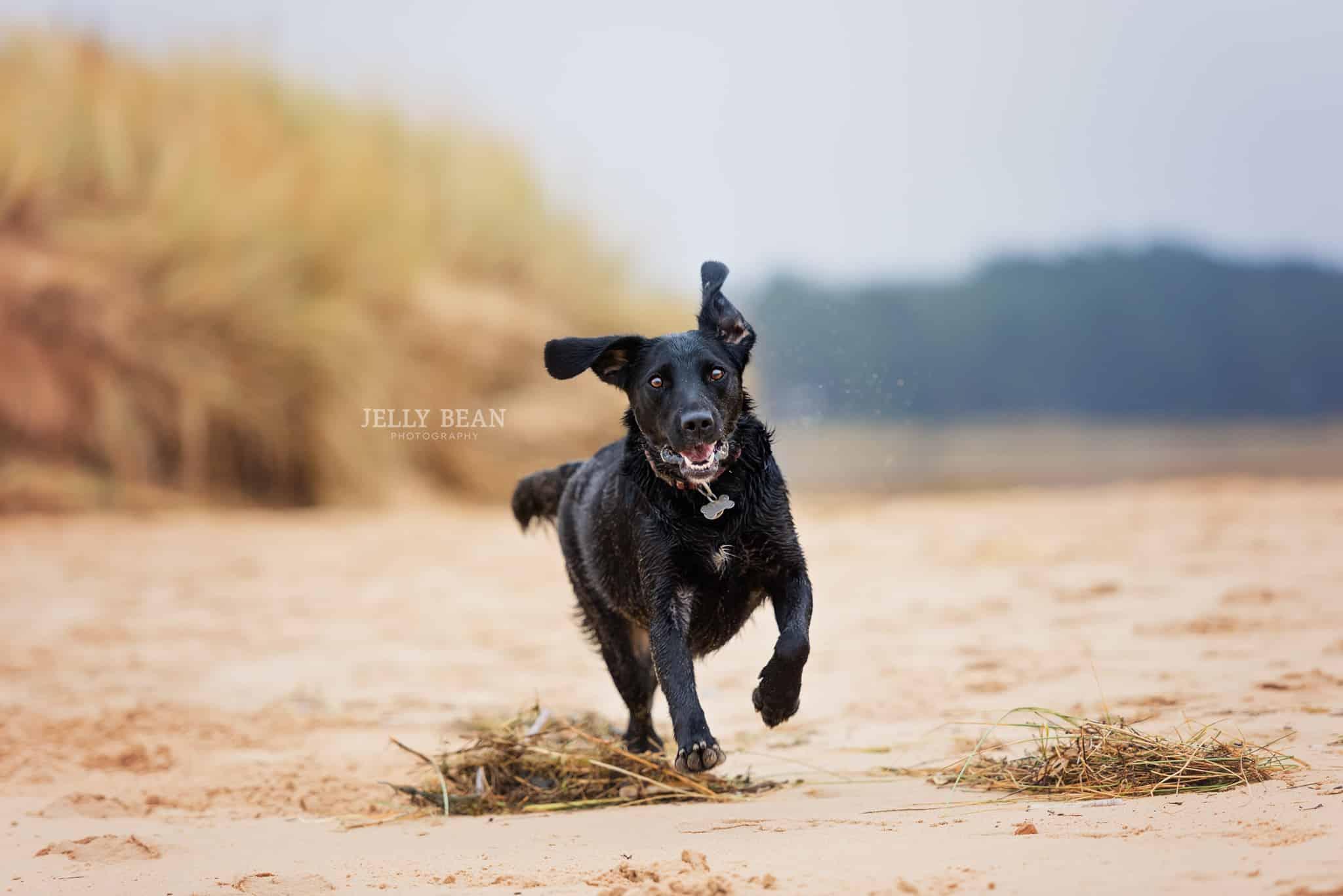 Dog running towards camera on beach