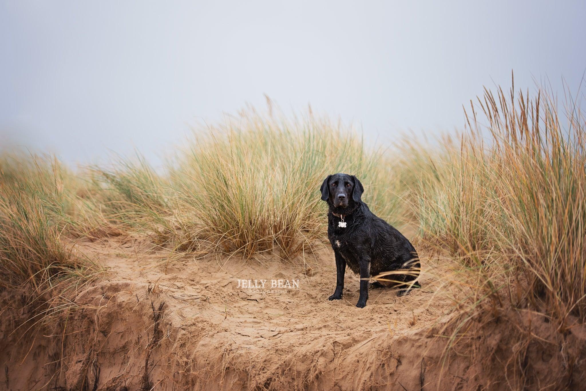 Black lab sitting on Norfolk sand dunes