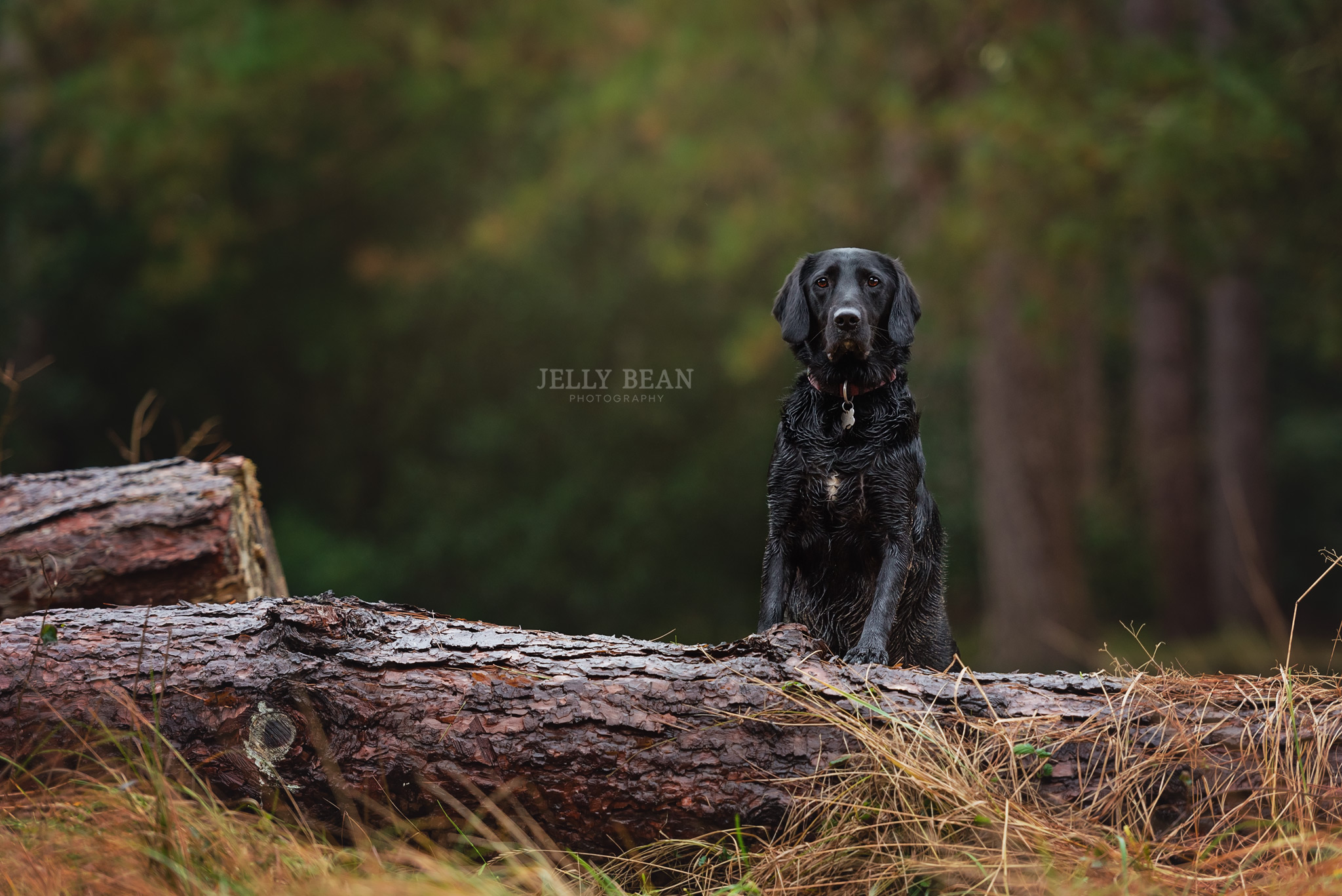Dog standing on log in the forest
