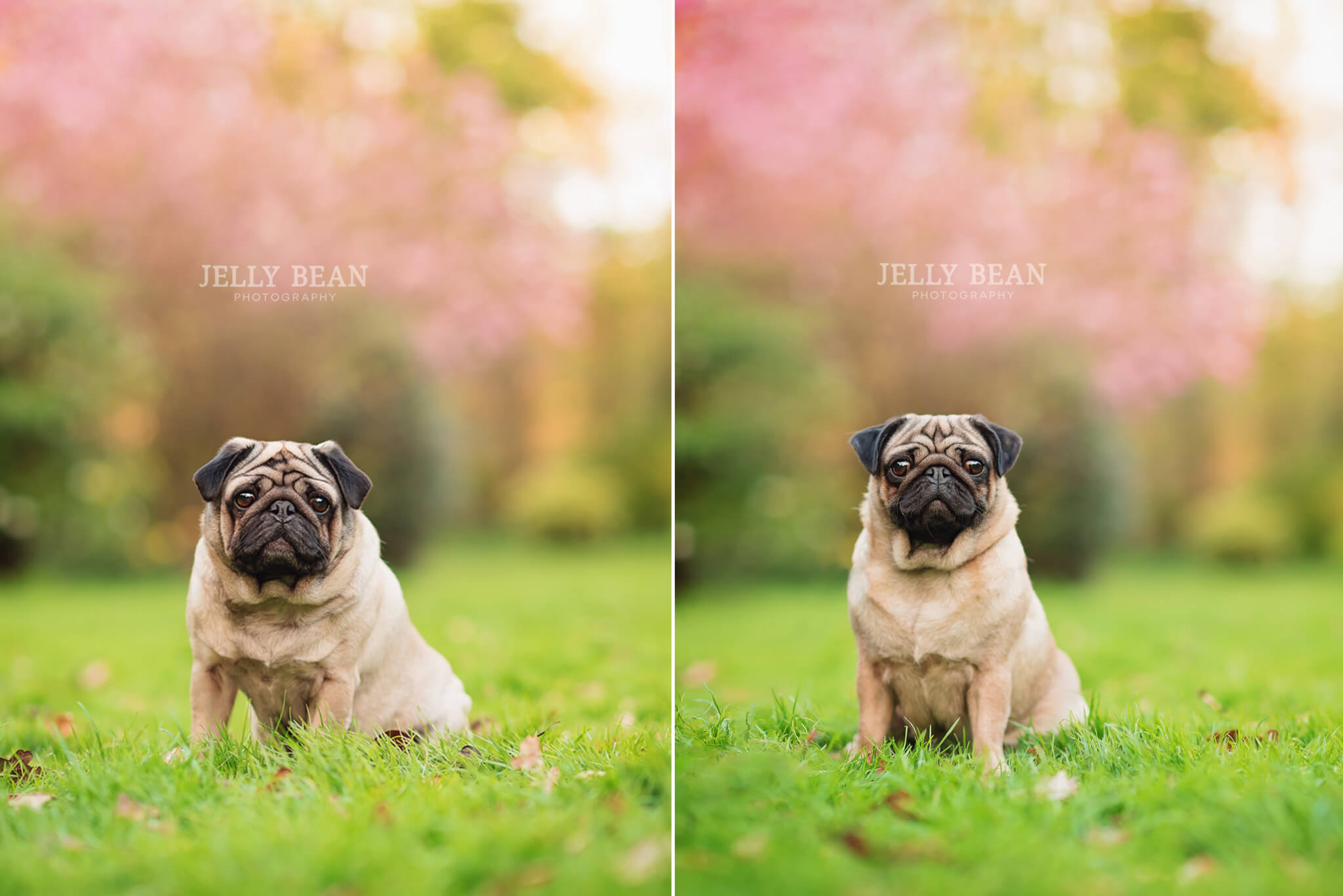 Two pugs sitting in grass