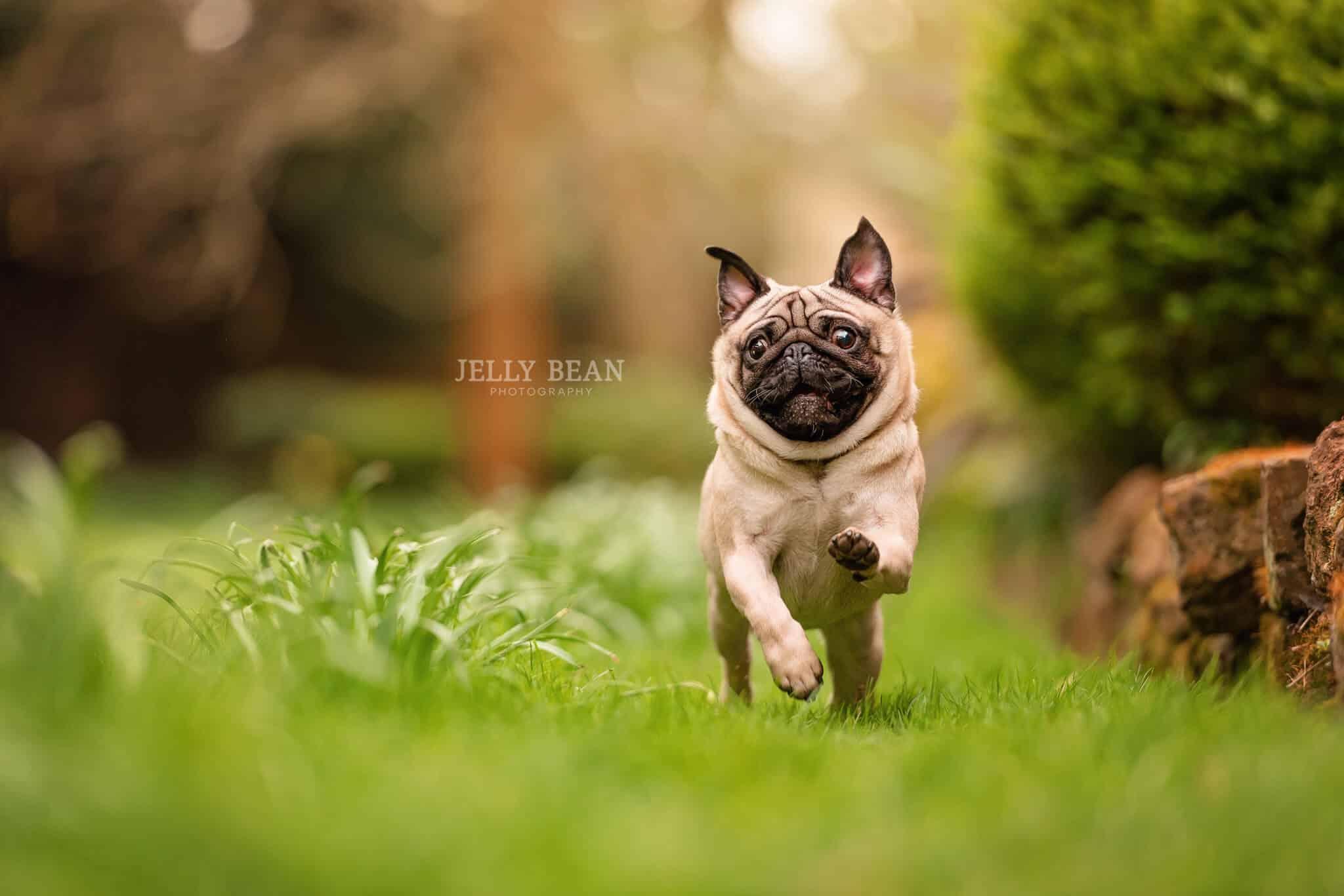 Dog running action shot