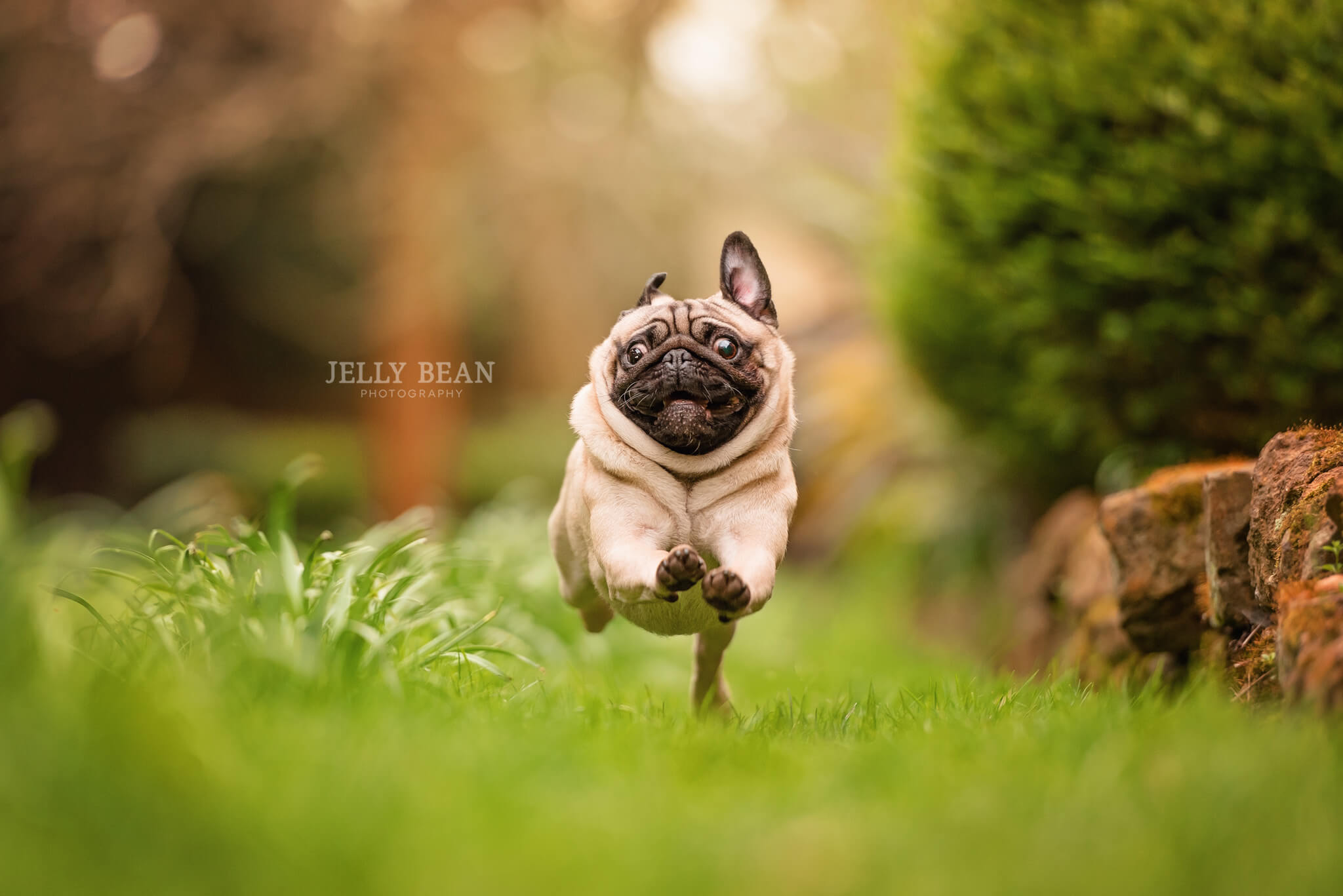 Pug running towards camera