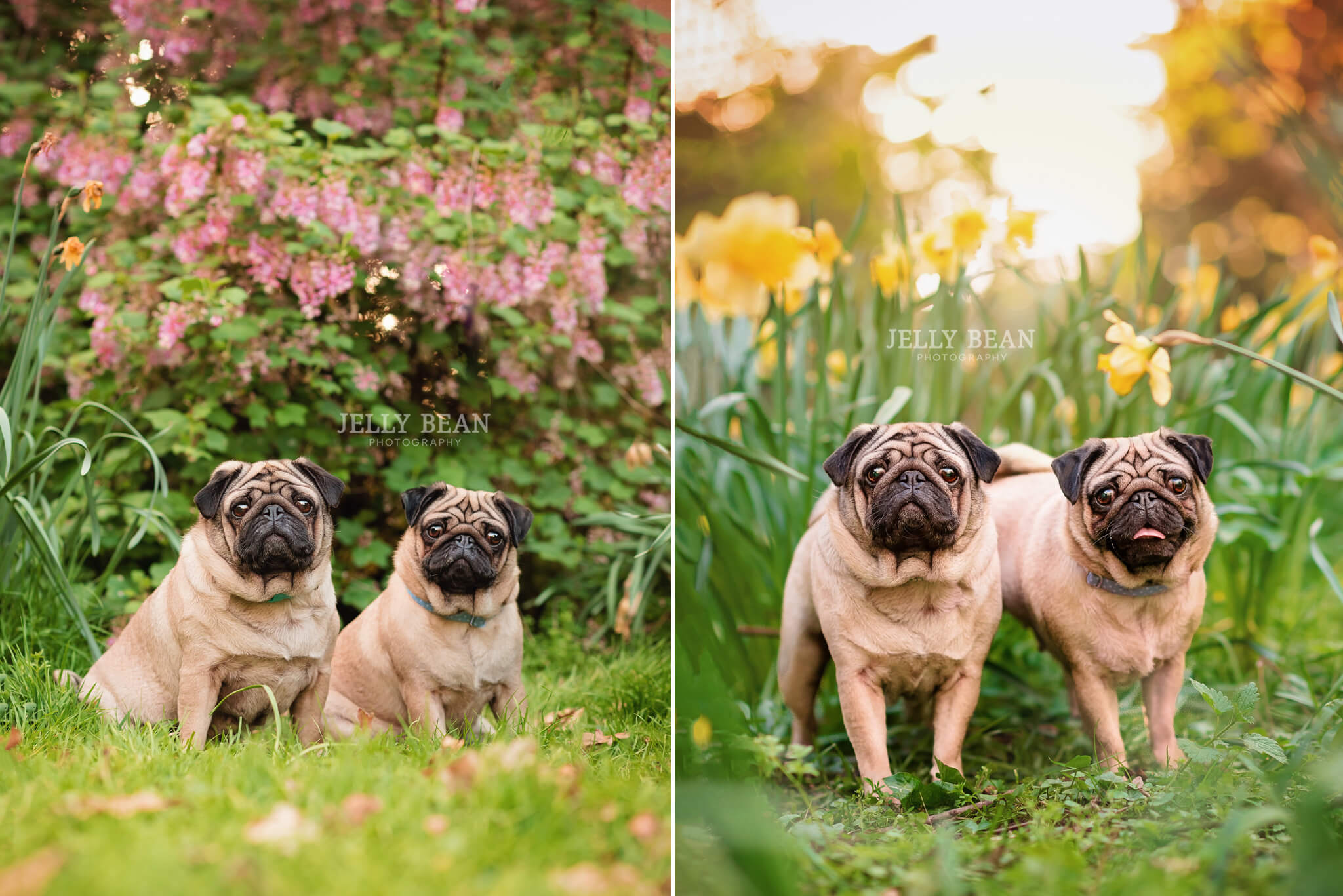 Two pugswith flowers