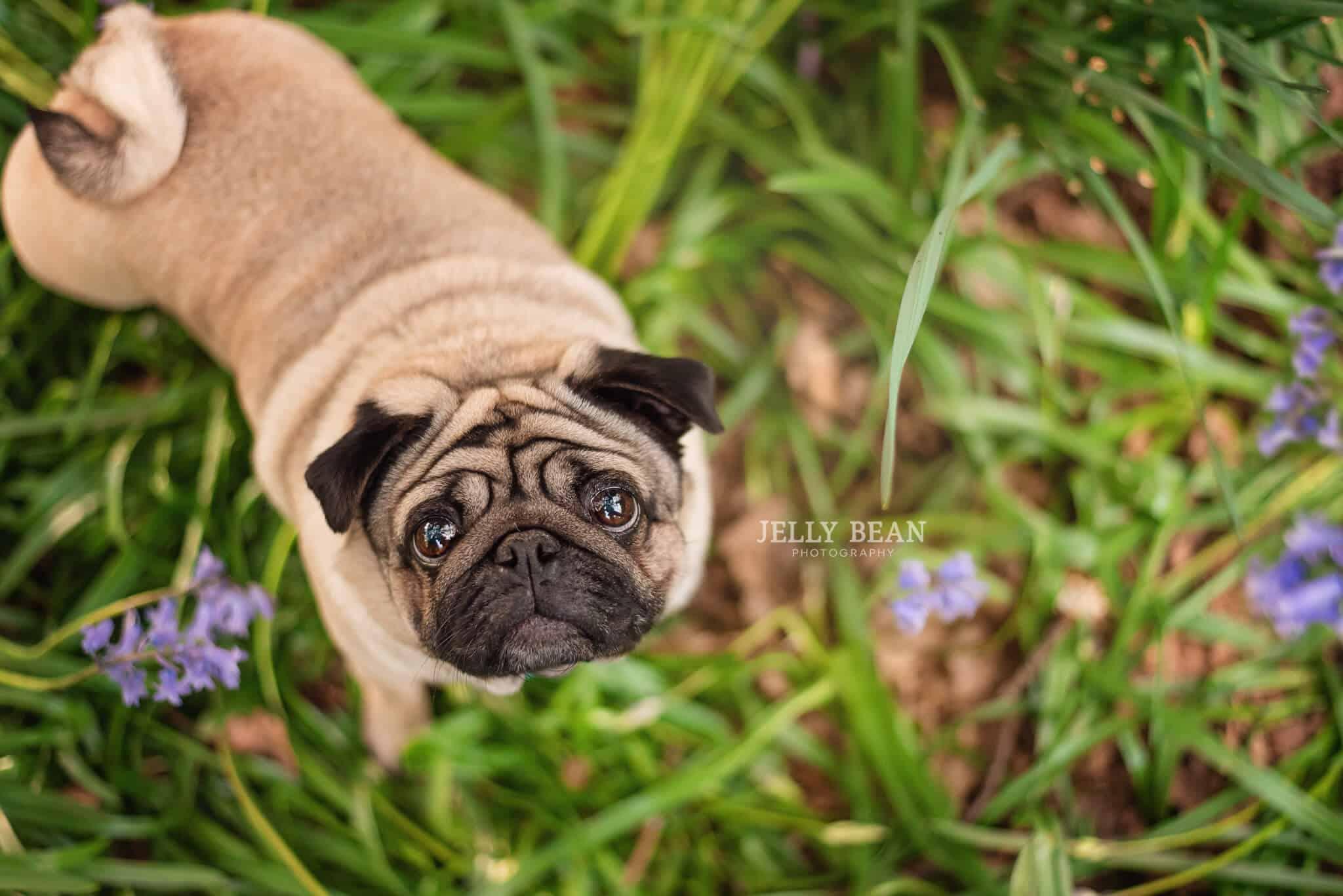 Pugs in bluebells