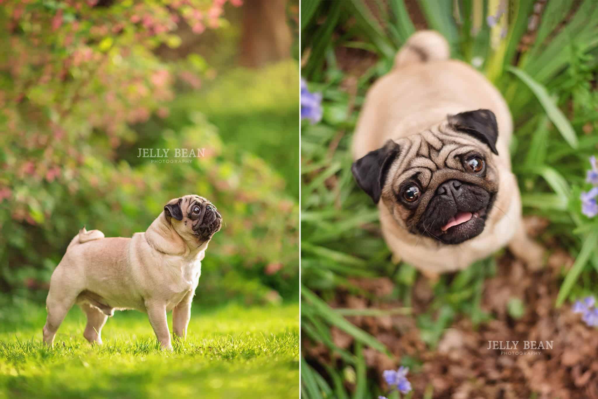 Pugs looking up at camera