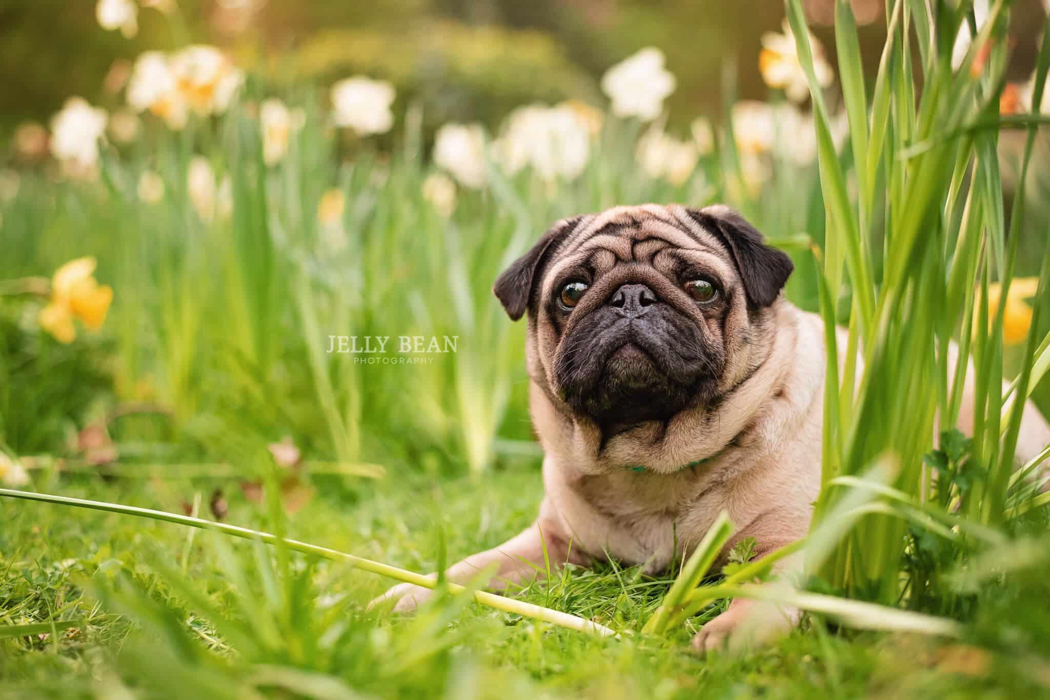 Dog lying in daffodils