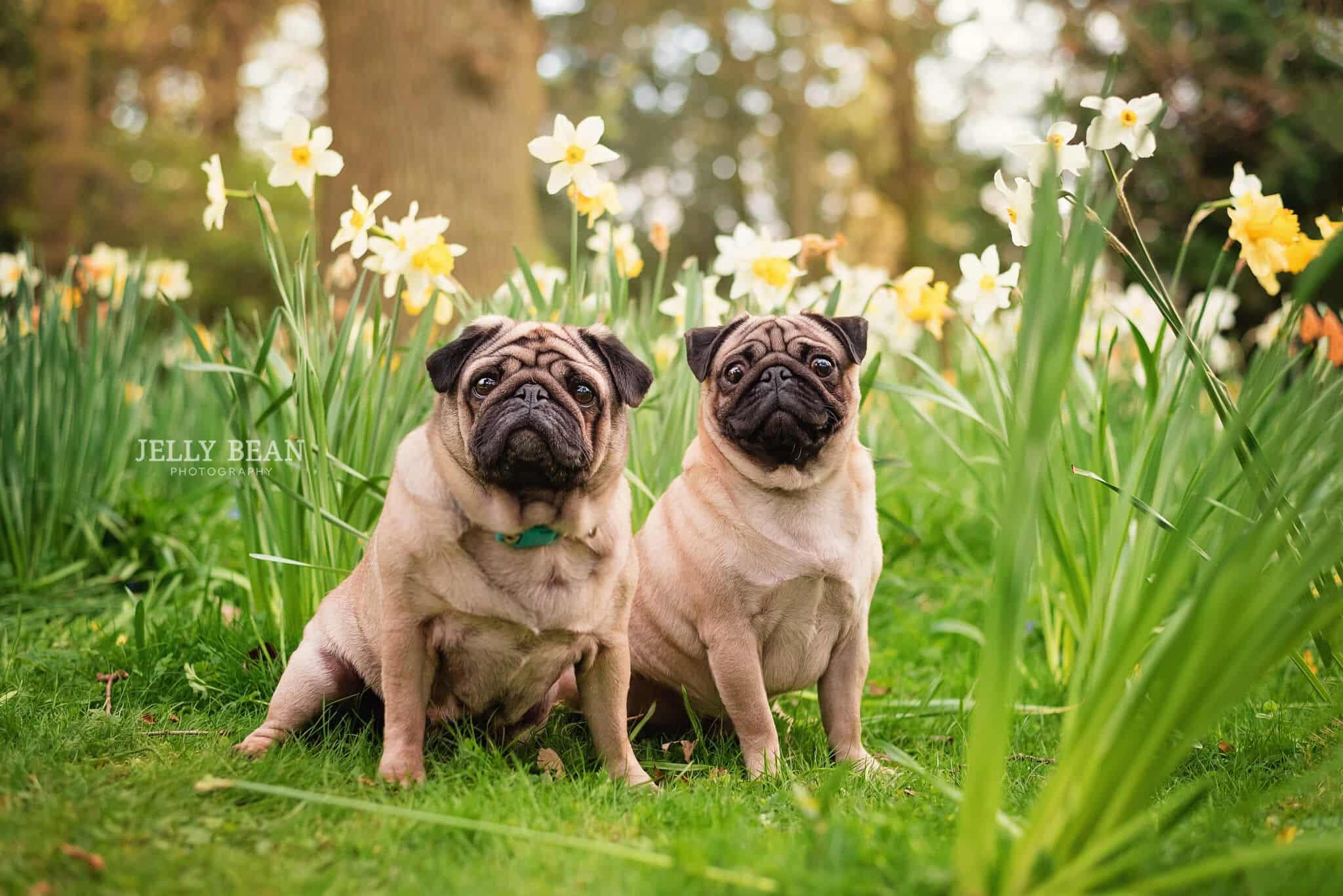 Two pugs in daffodils