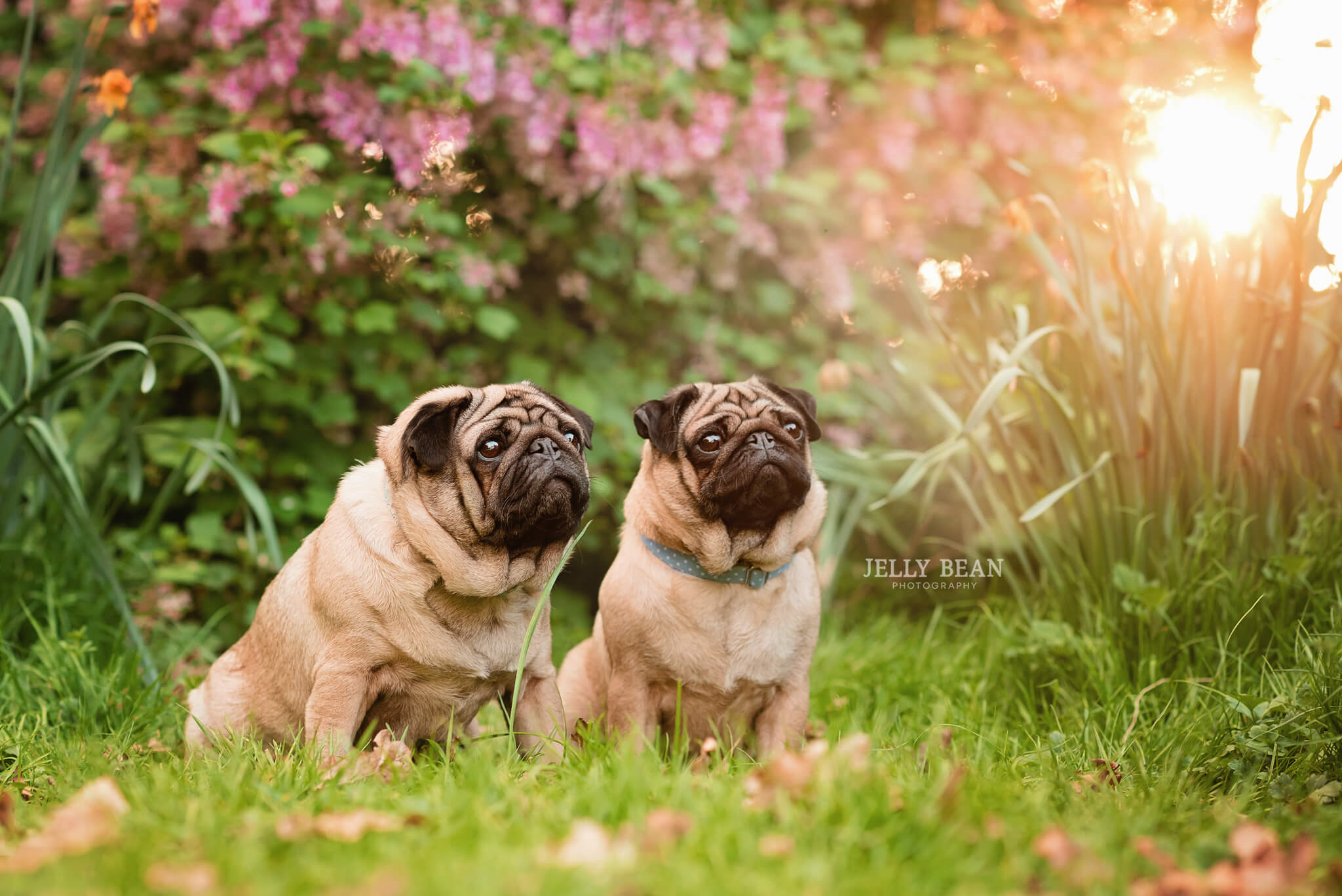 Two pug dogs