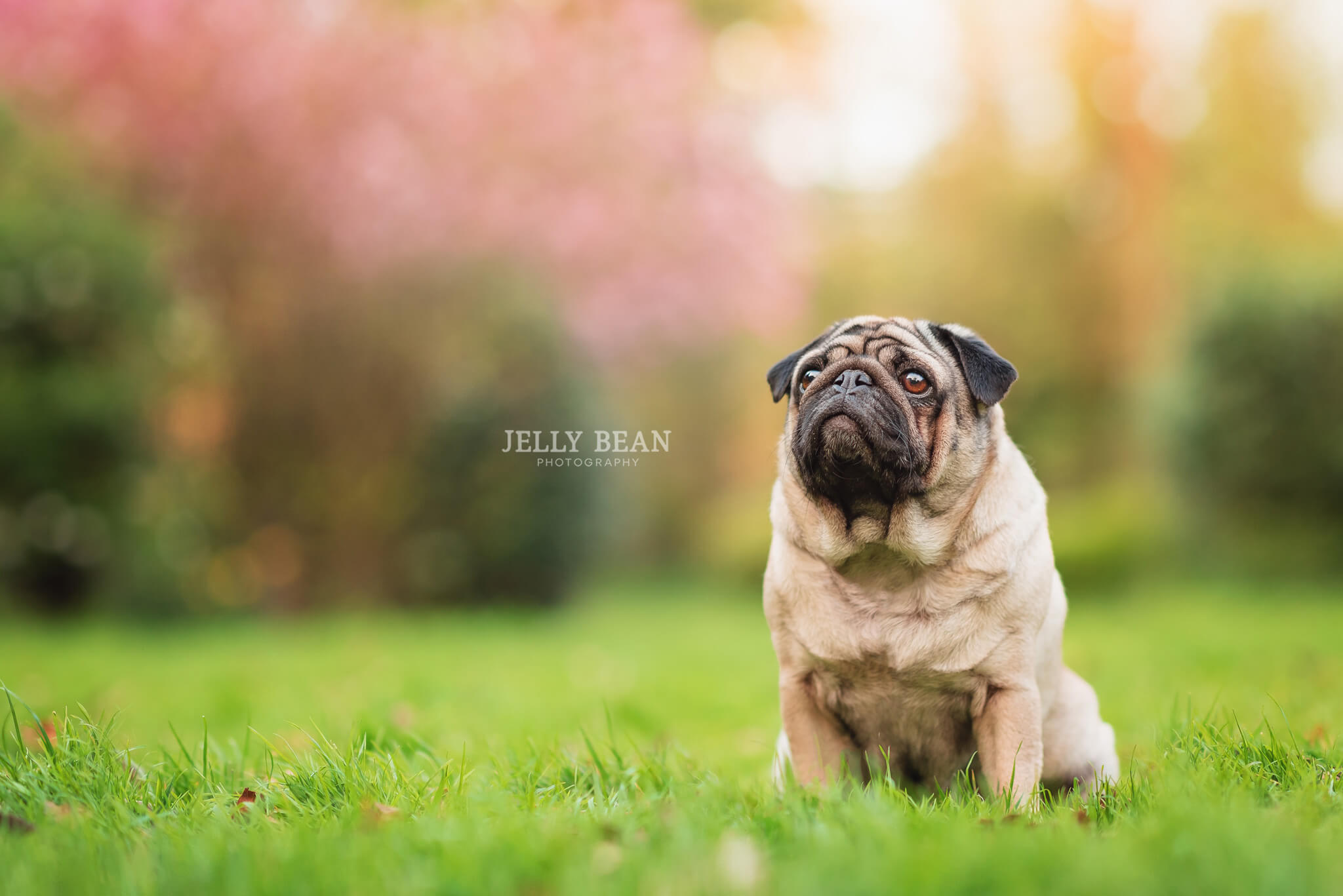 Pug sitting by trees