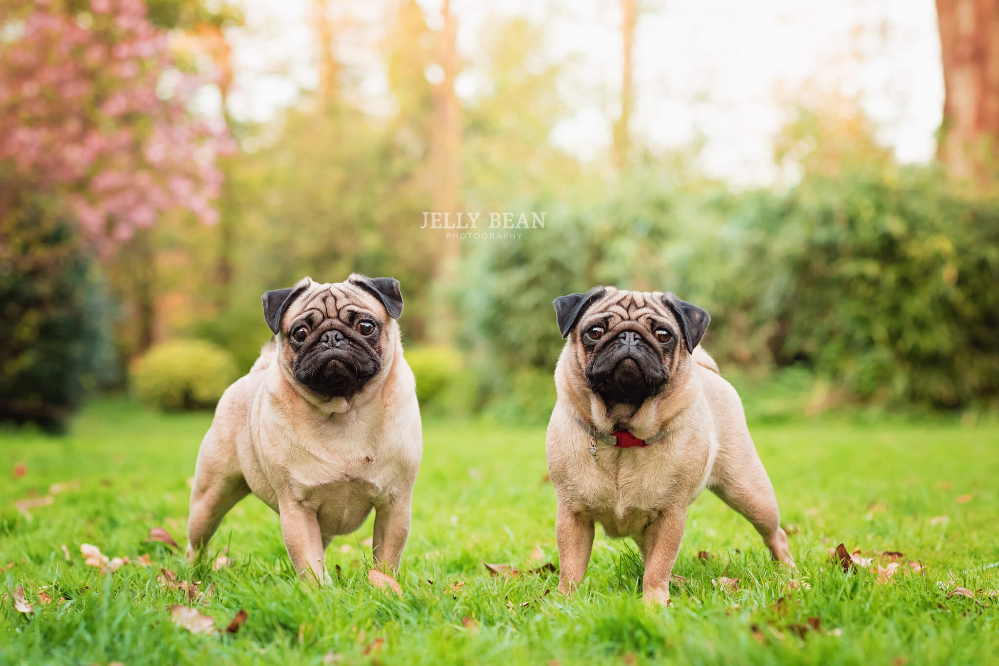 Two pugs standing in grass