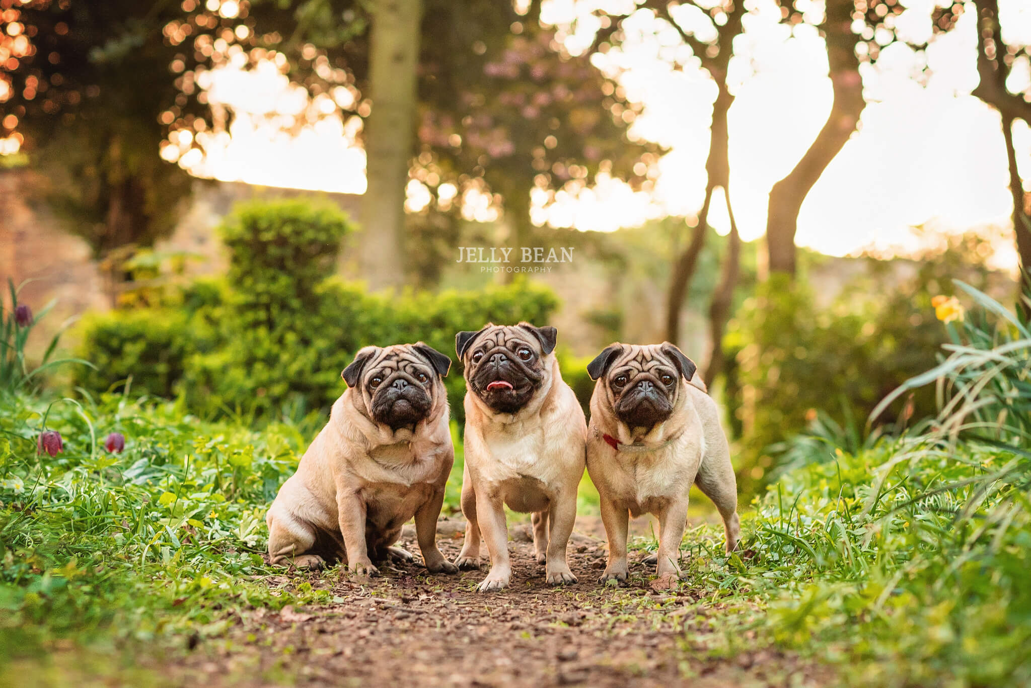 Three pugs in the park