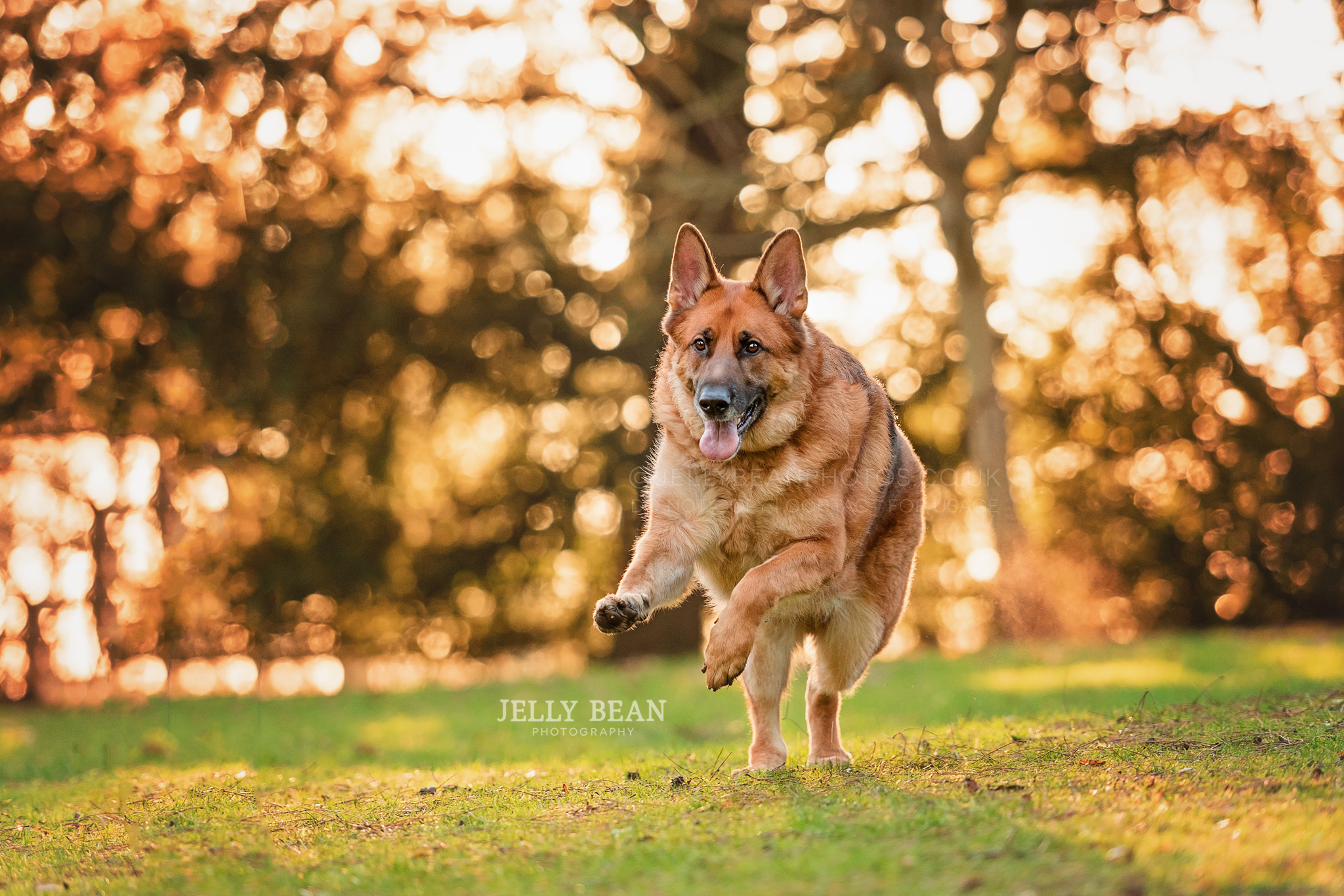 GSD running in field with golden leaves