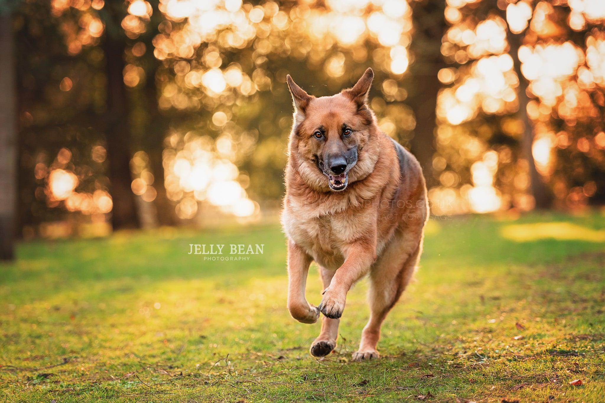 German shepherd dog running pulling funny face