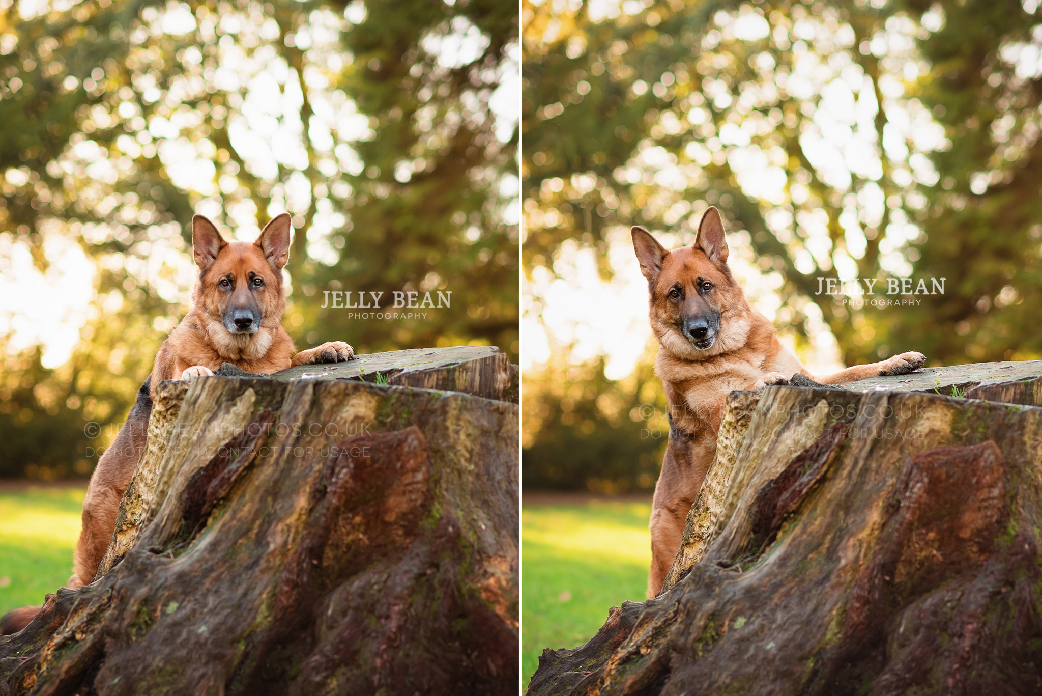GSD with paws on tree trunk