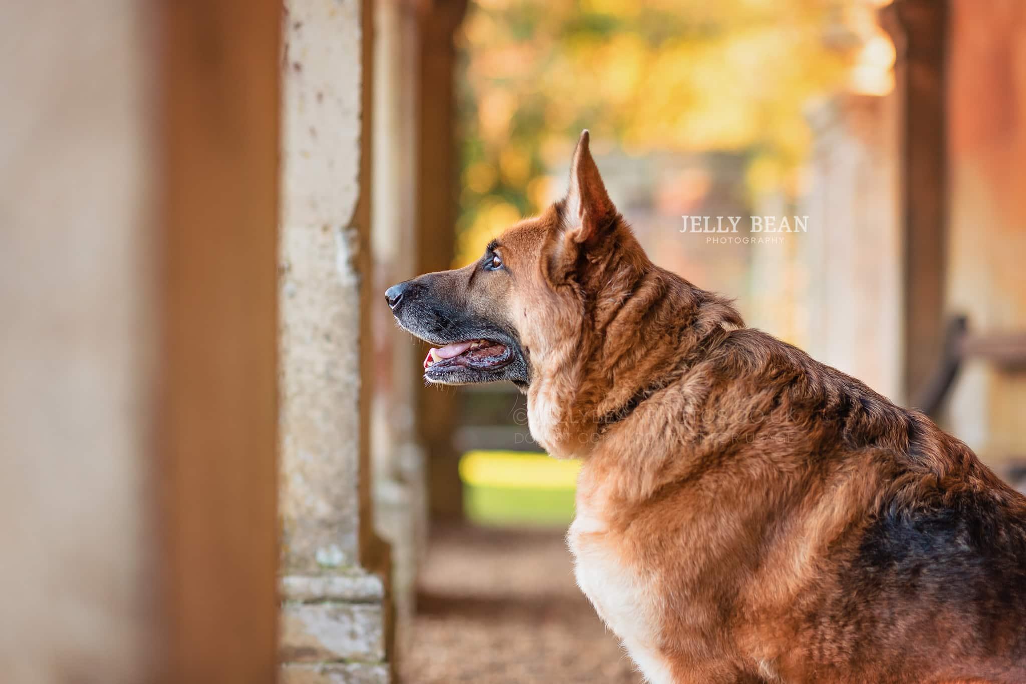 German shepherd profile photograph