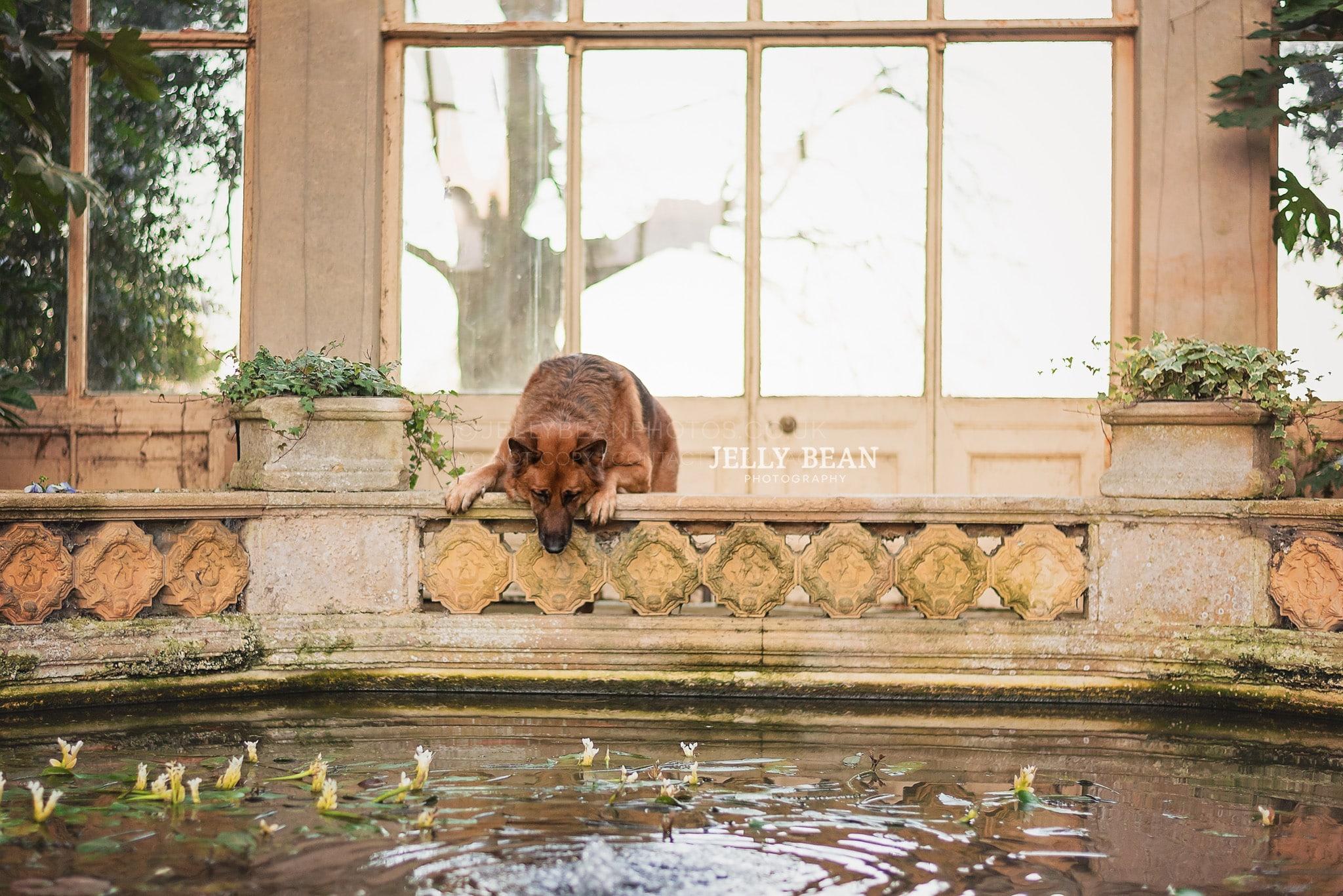 German shepherd looking in fish pond
