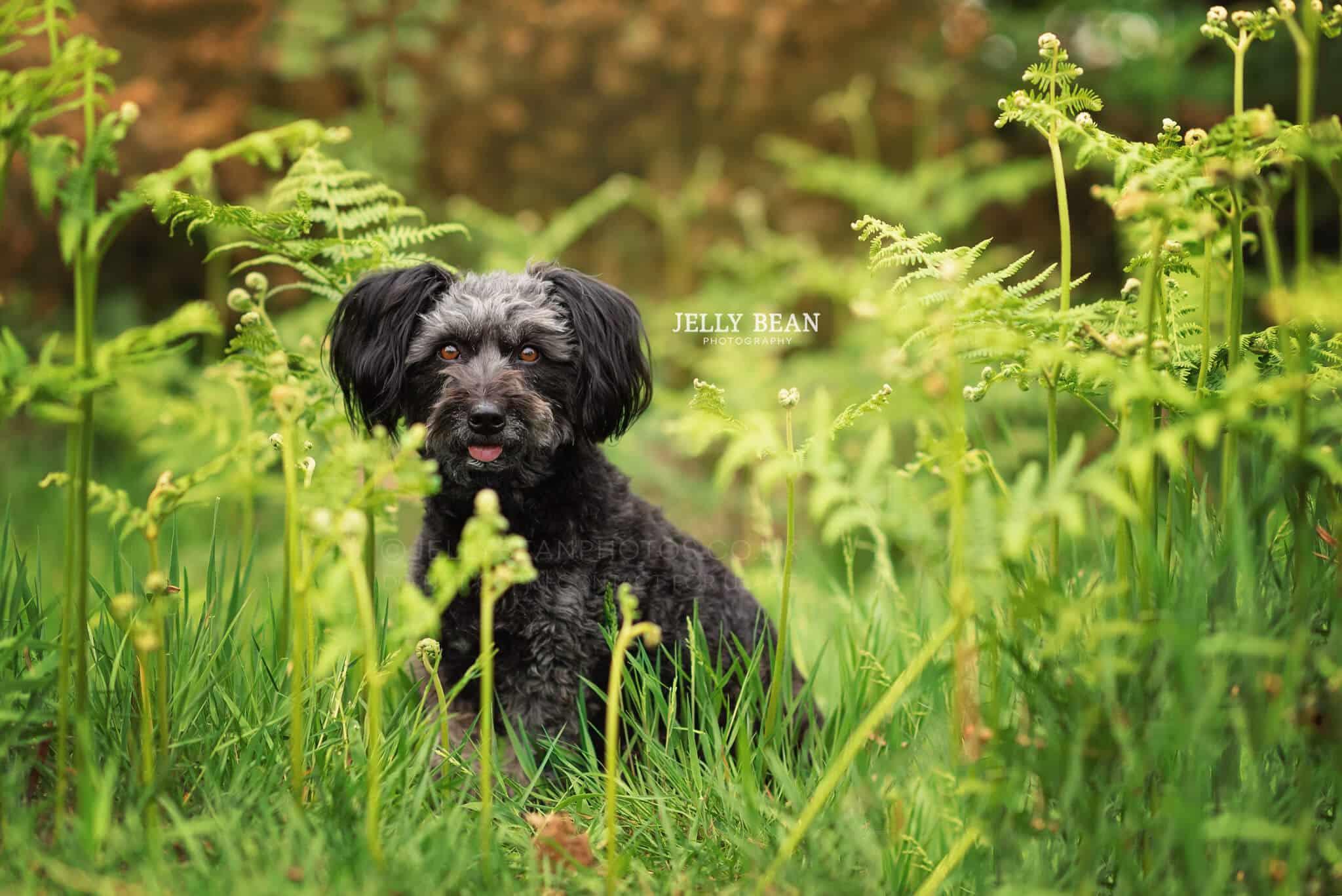 black poodle cross in ferns