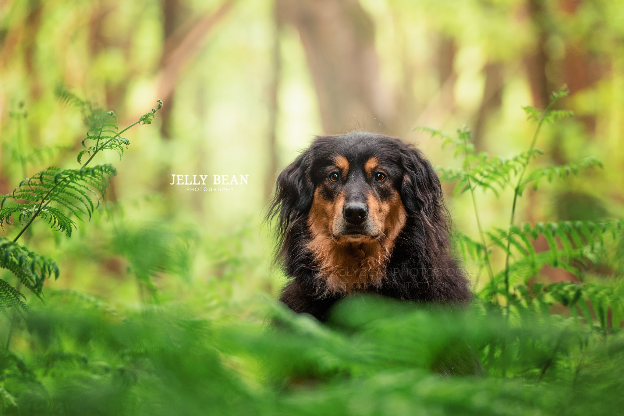 English Shepherd Dog portrait