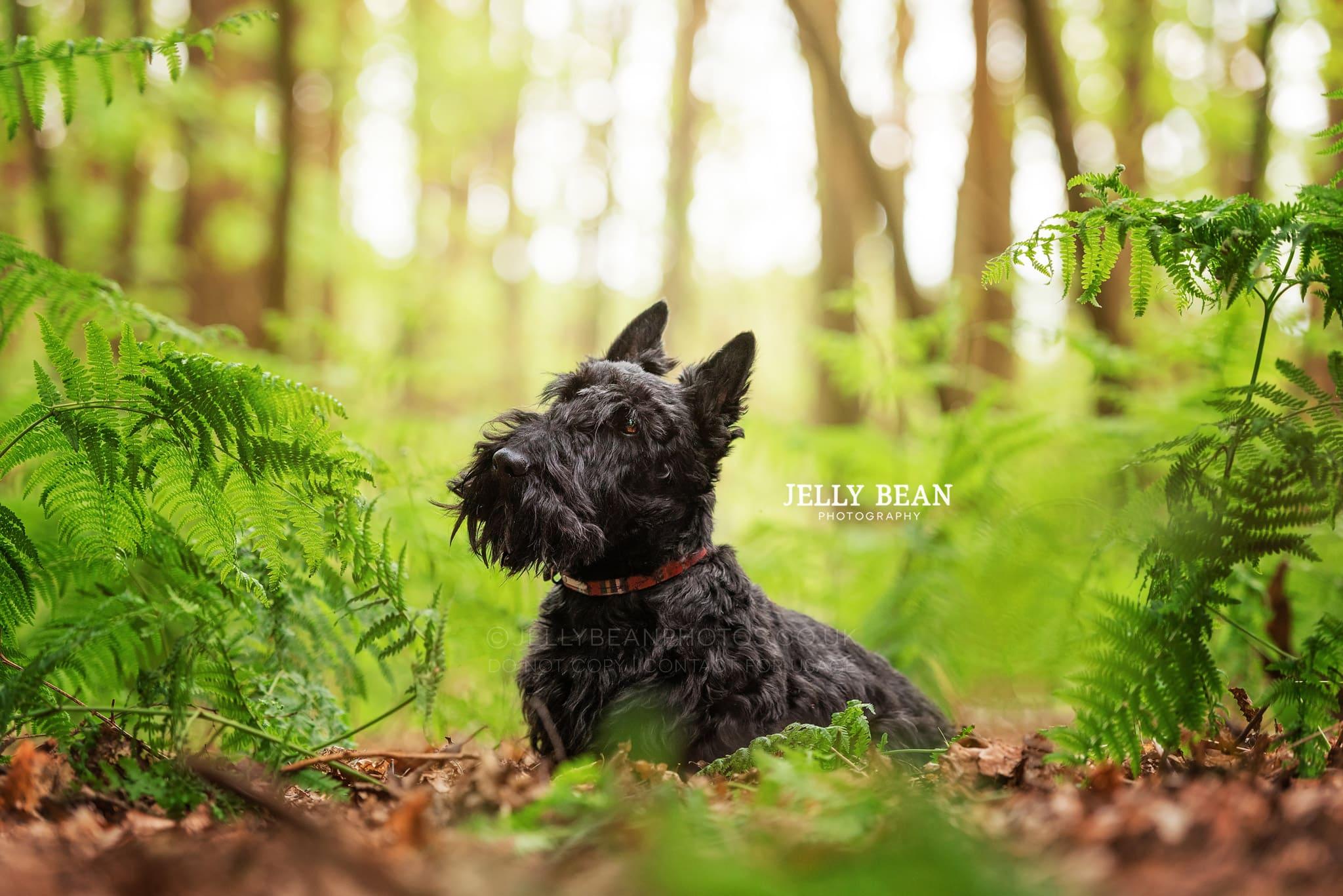 Scottie in the ferns