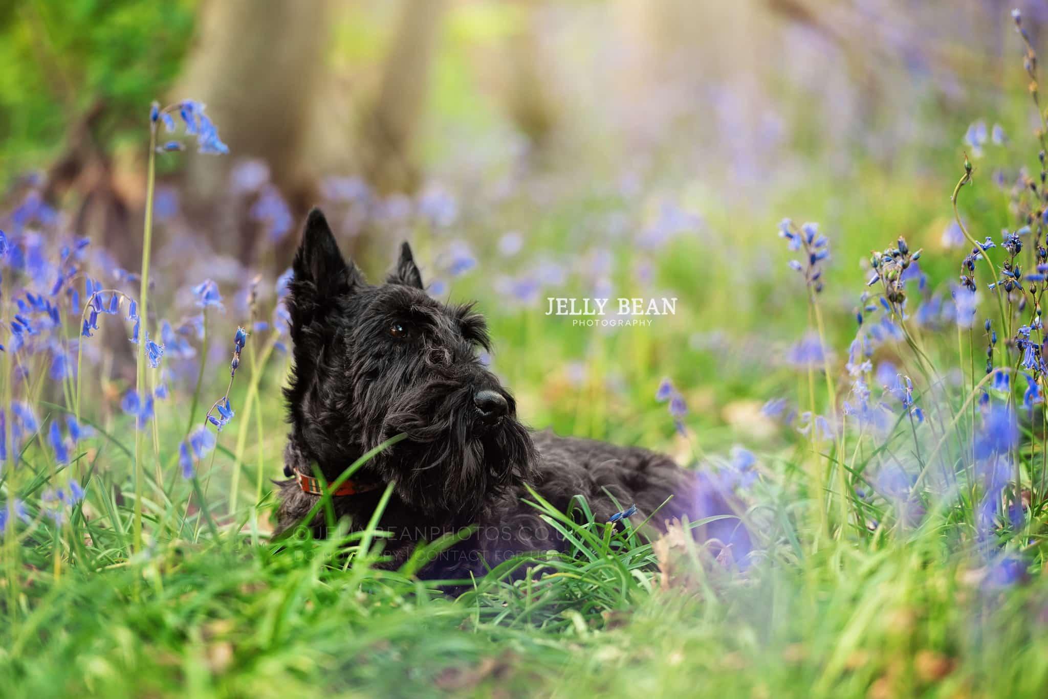 Scottie sitting in bluebells