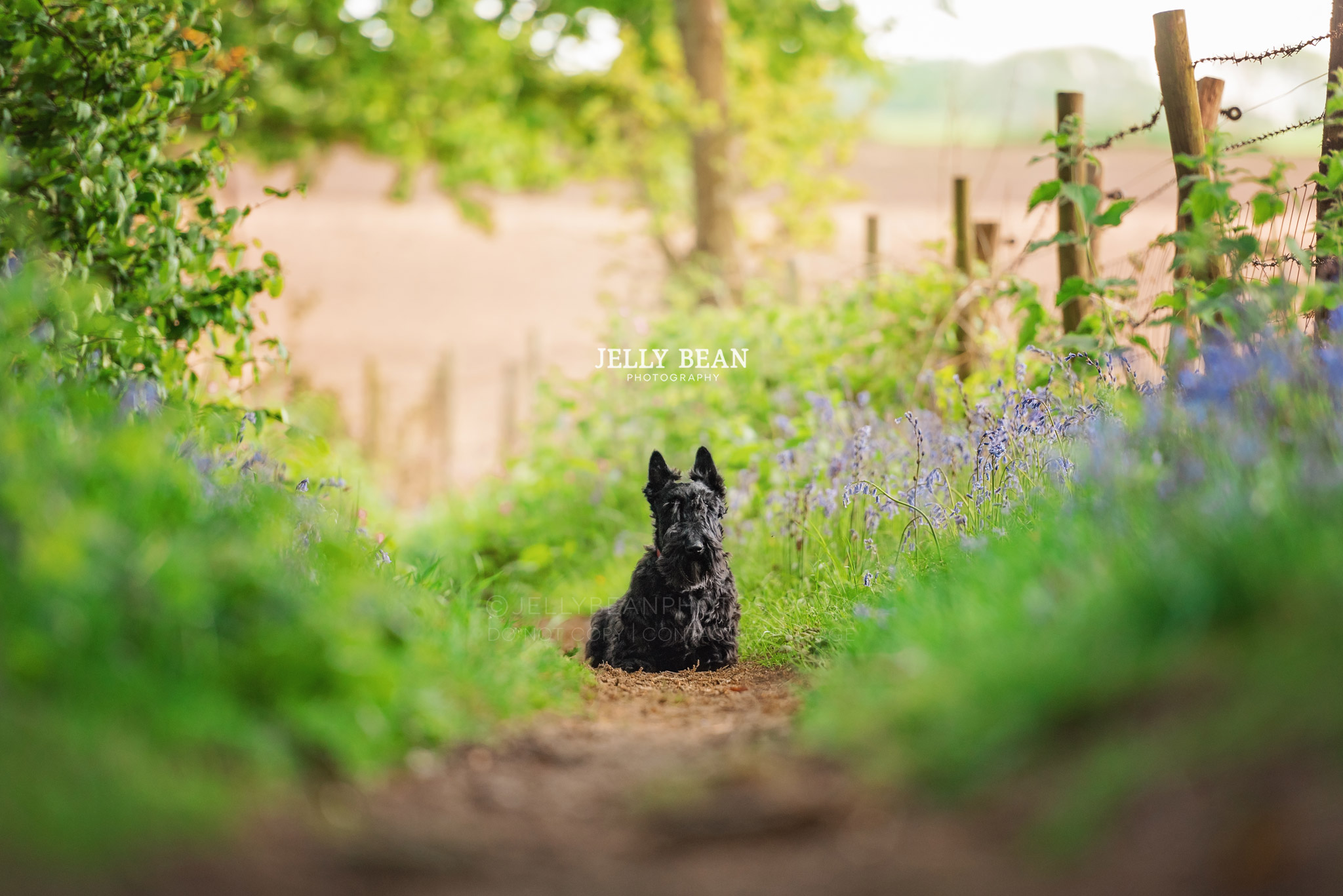 Small scottie dog sitting in pathway