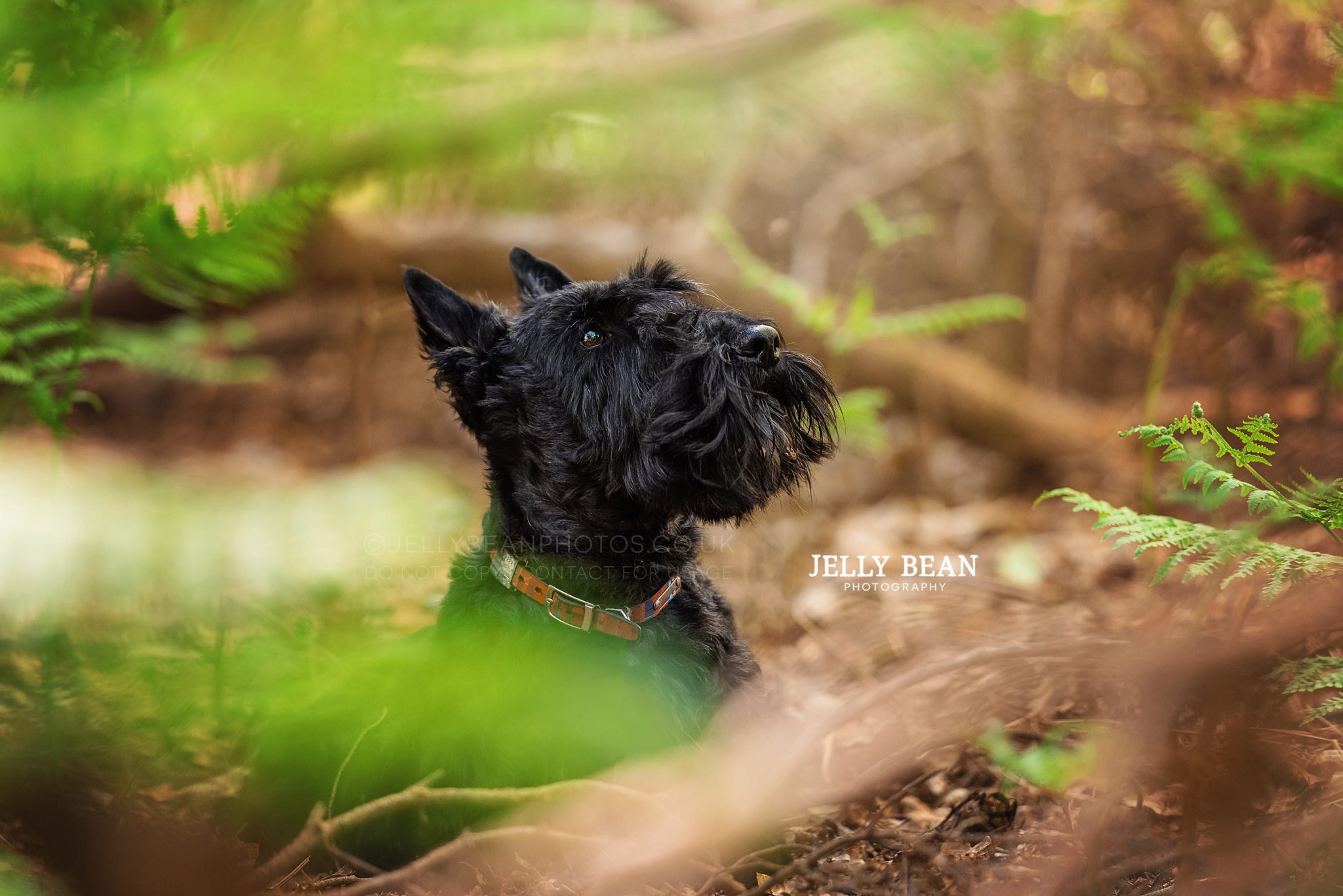 Scottish terrier in the woods