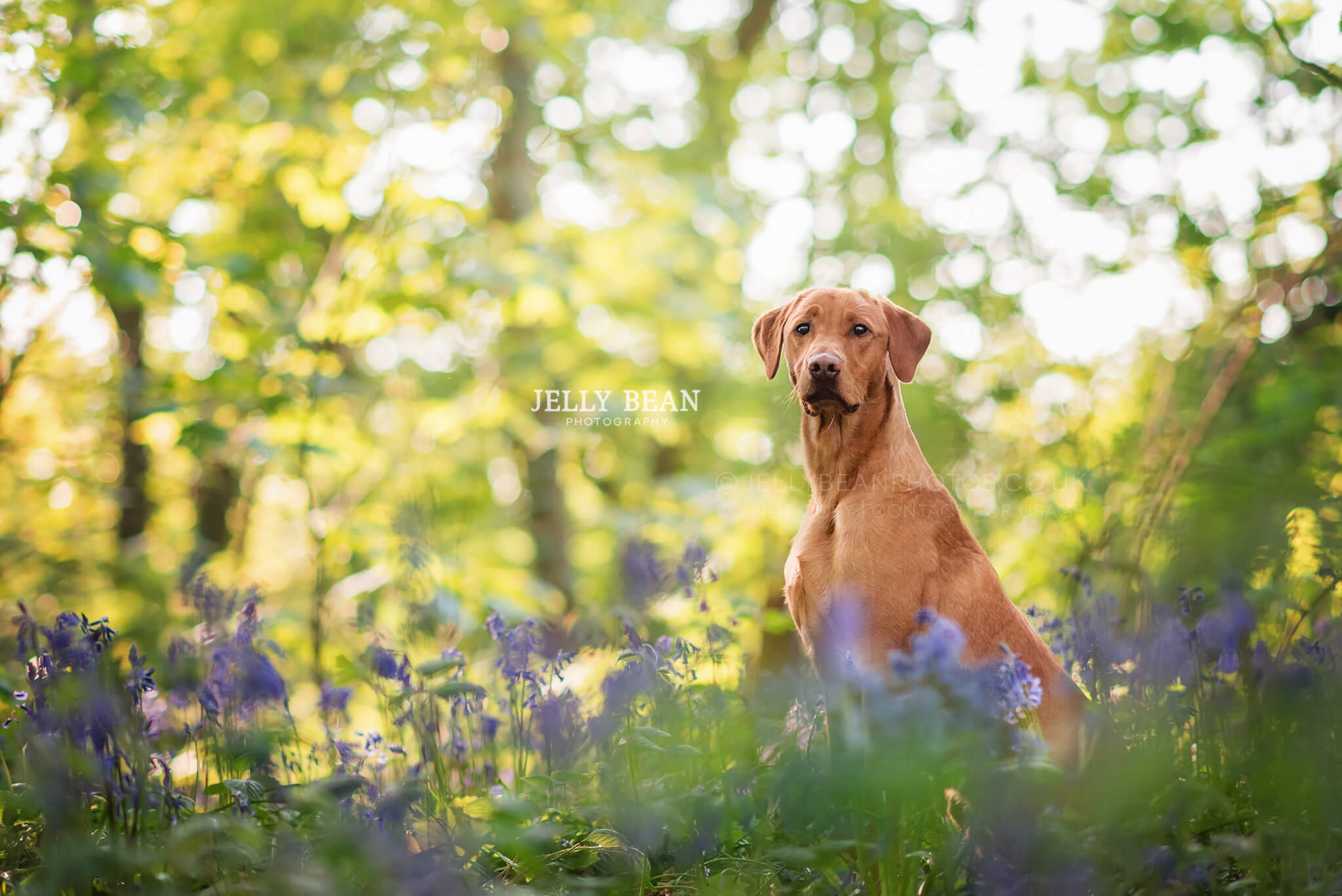 Fox red labrador in the woods